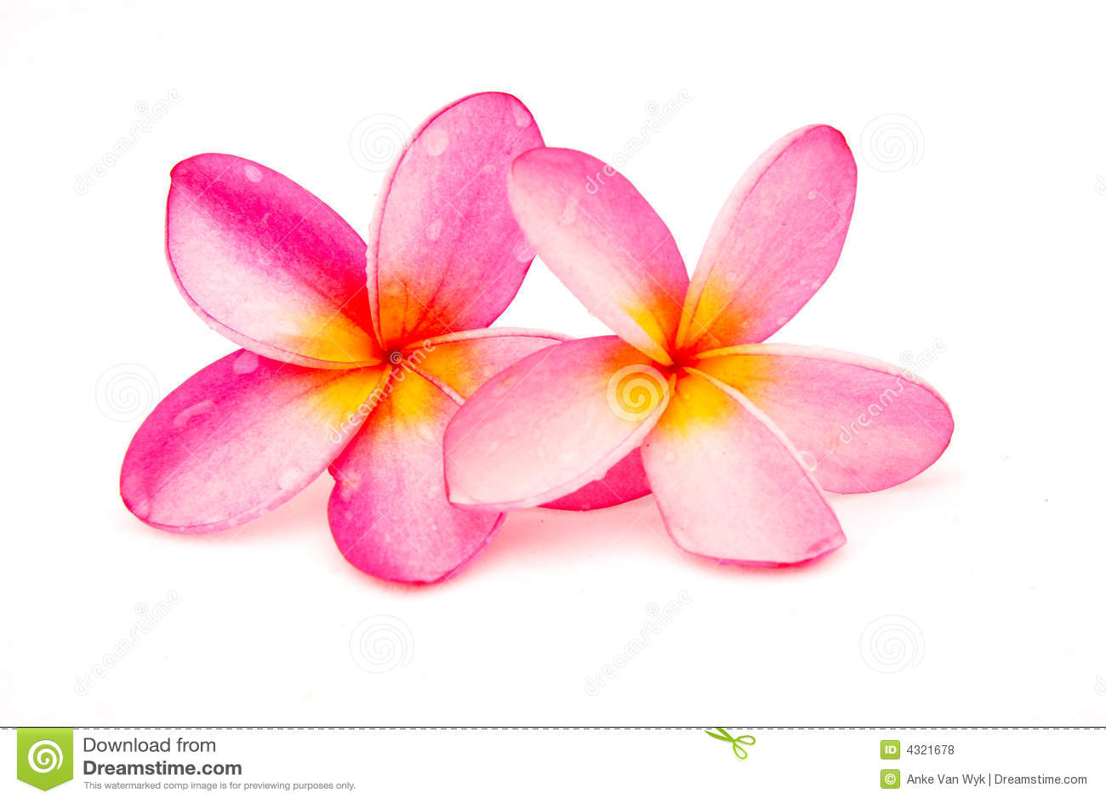 красивейший plumeria frangipani