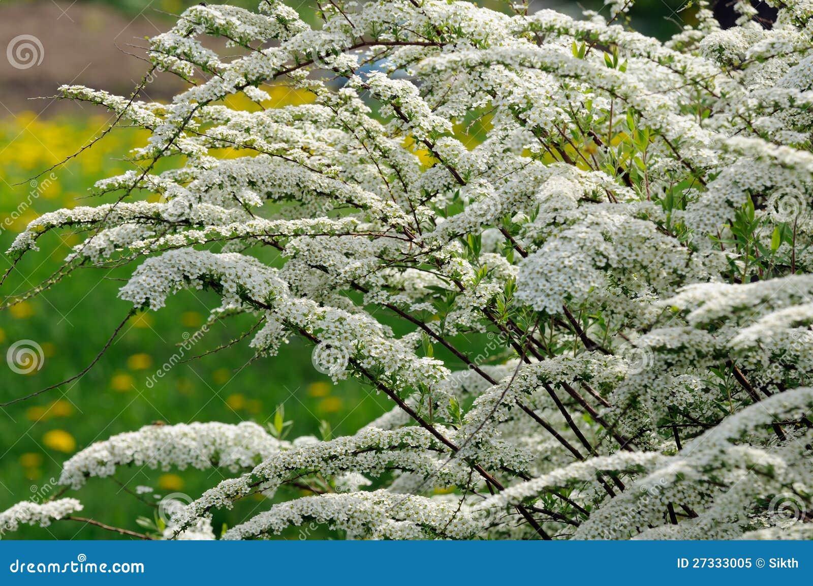 Красивейший Shrub Spiraea (Meadowsweet) с цветками