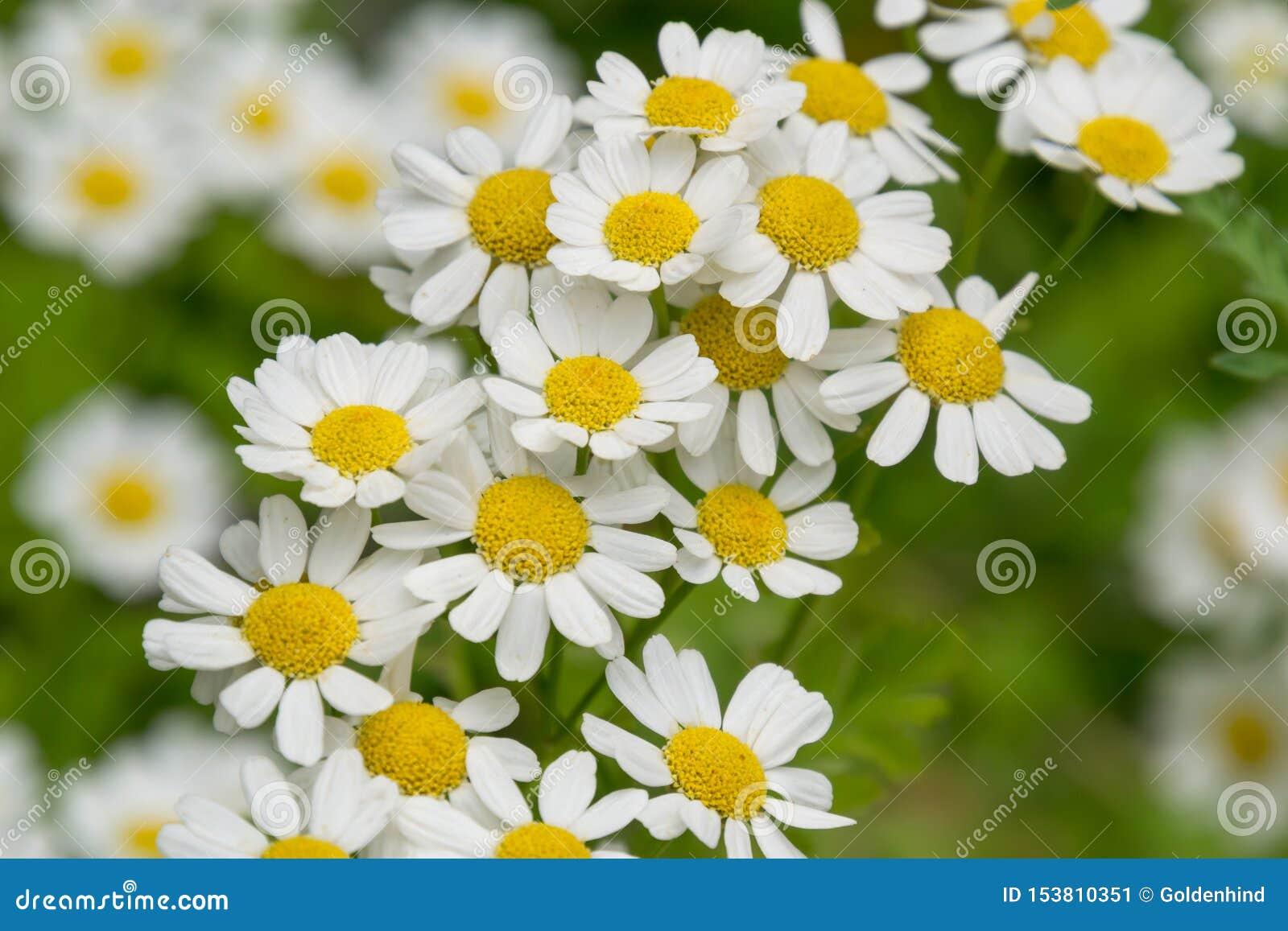 Красивое белое поле цветков маргаритки camomiles на зеленом луге