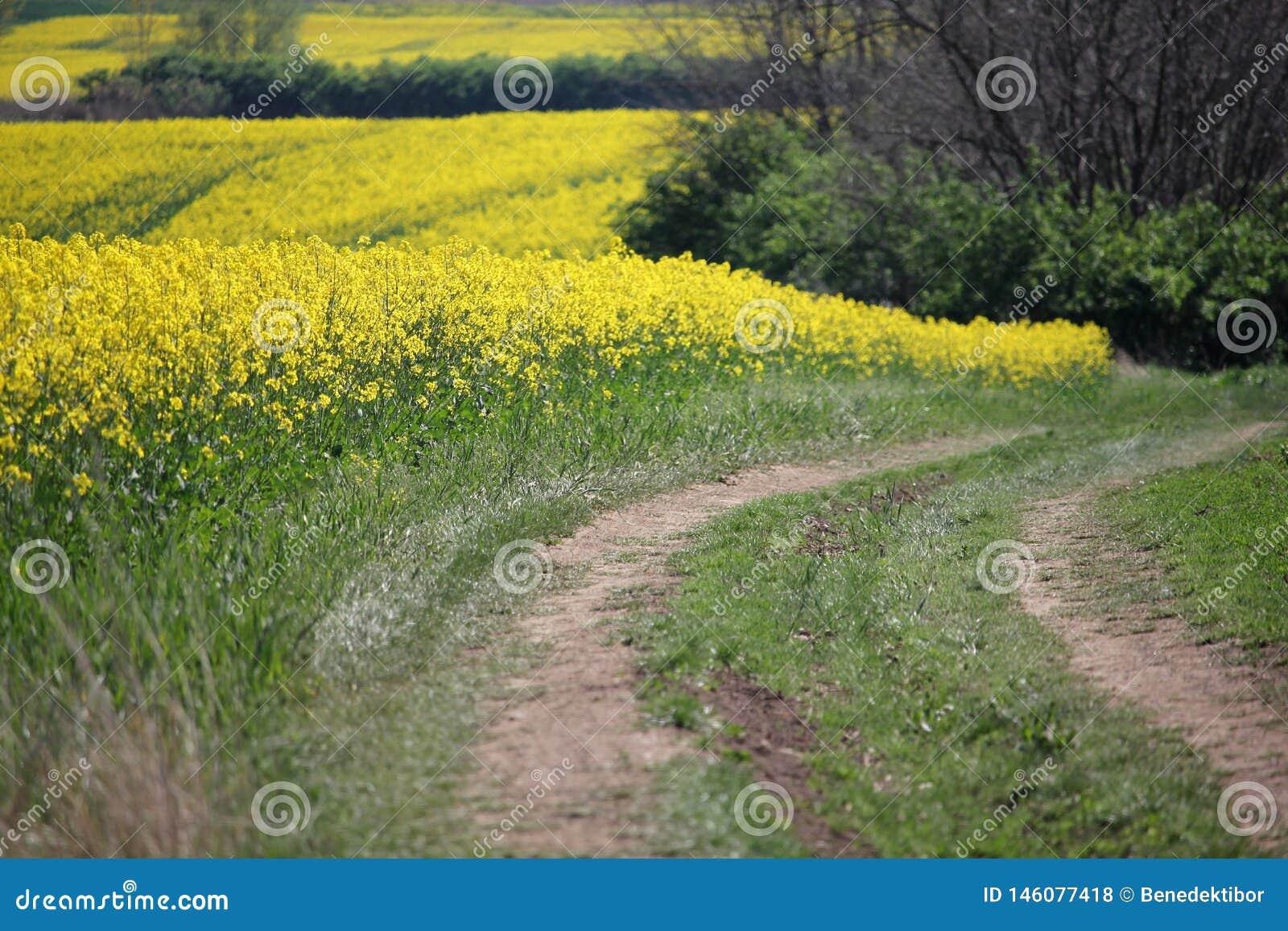Красивое желтое поле рапса с грязной улицей