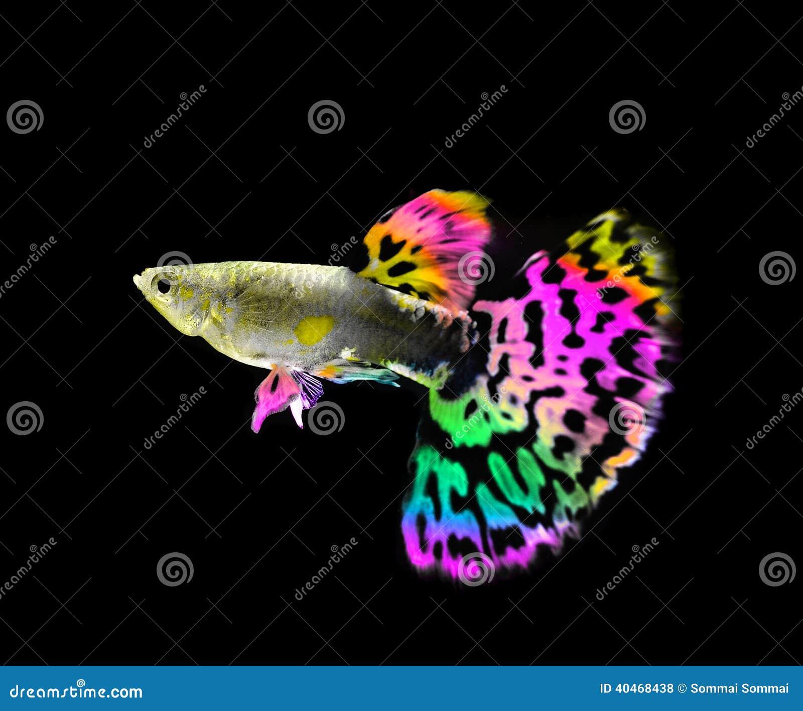 Красивое заплывание рыб гуппи