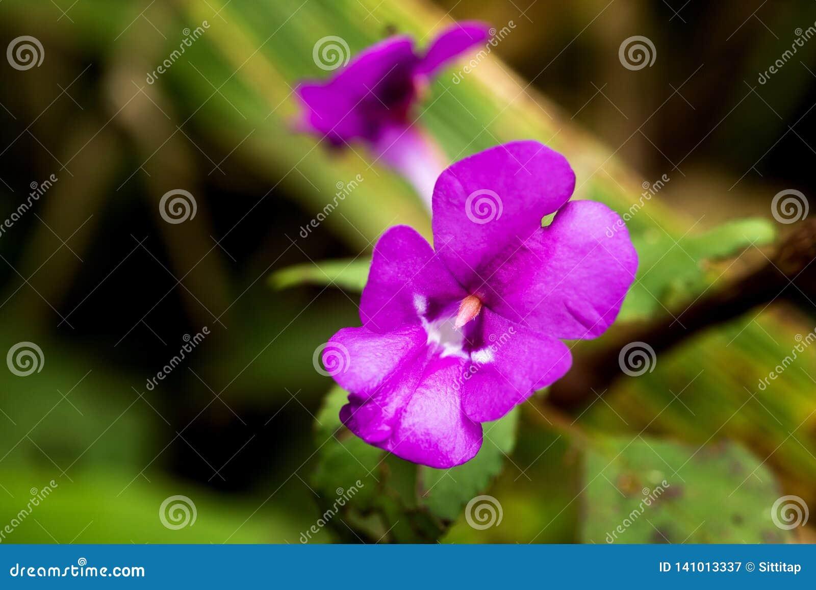 Красивое зацветая lituiflorum Dendrobium