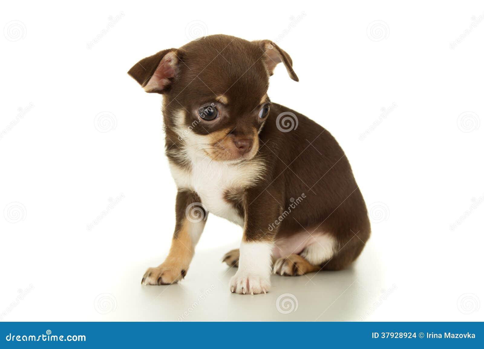 Красивое коричневое изолированное усаживание щенка чихуахуа