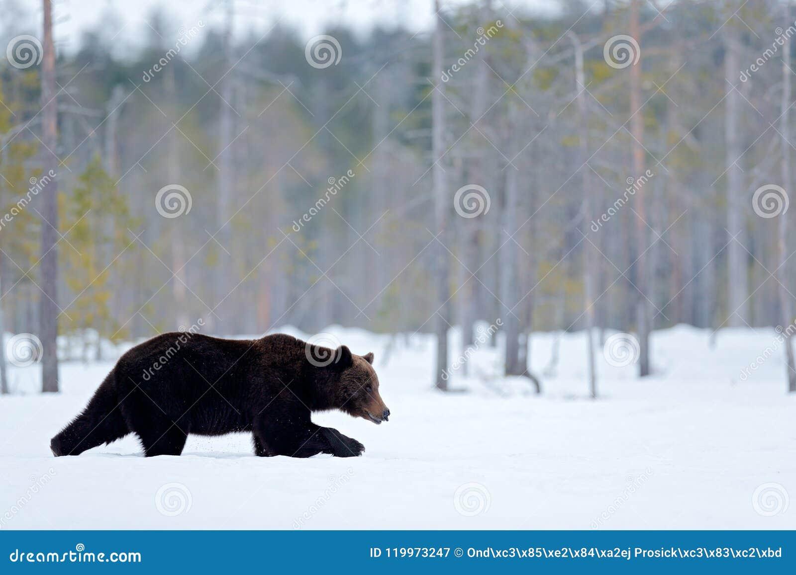 Красивое коричневое млекопитающее идя вокруг озера с снегом и льдом Опасная тварь в древесине природы, среде обитания луга Среда