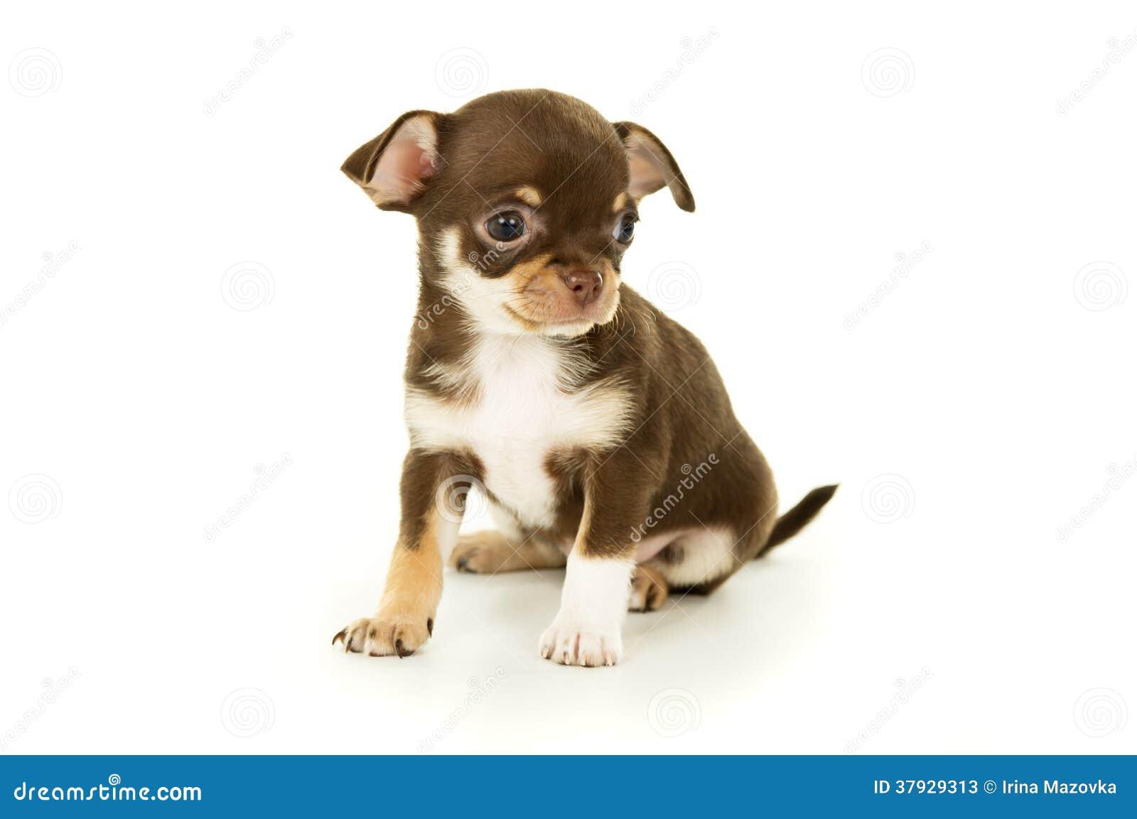 Красивое маленькое усаживание щенка чихуахуа
