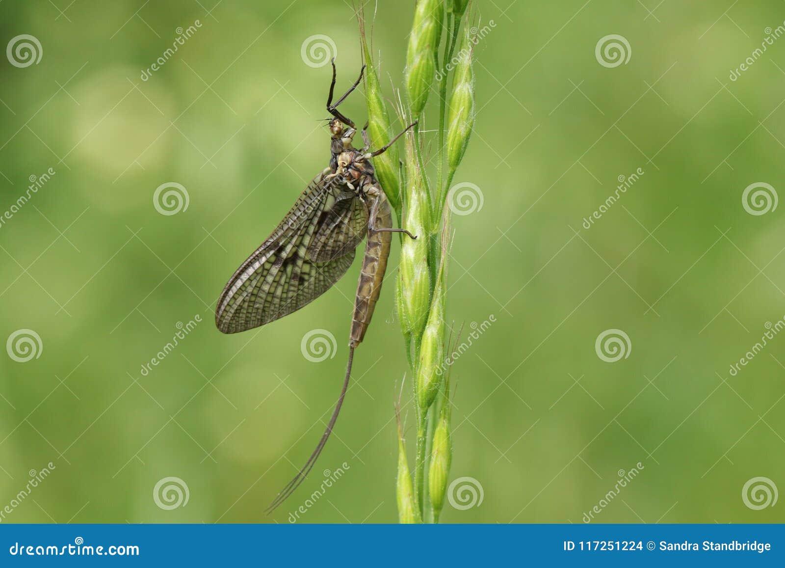 Красивое vulgata Ephemera подёнки садясь на насест на семенах травы