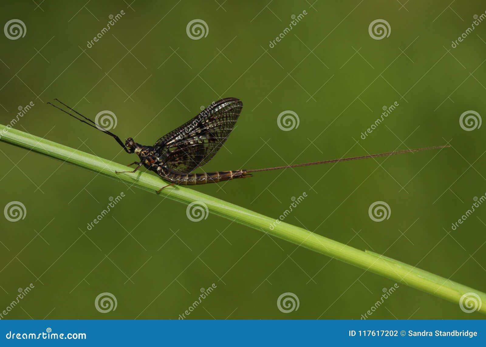Красивое vulgata Ephemera подёнки садясь на насест на стержне травы