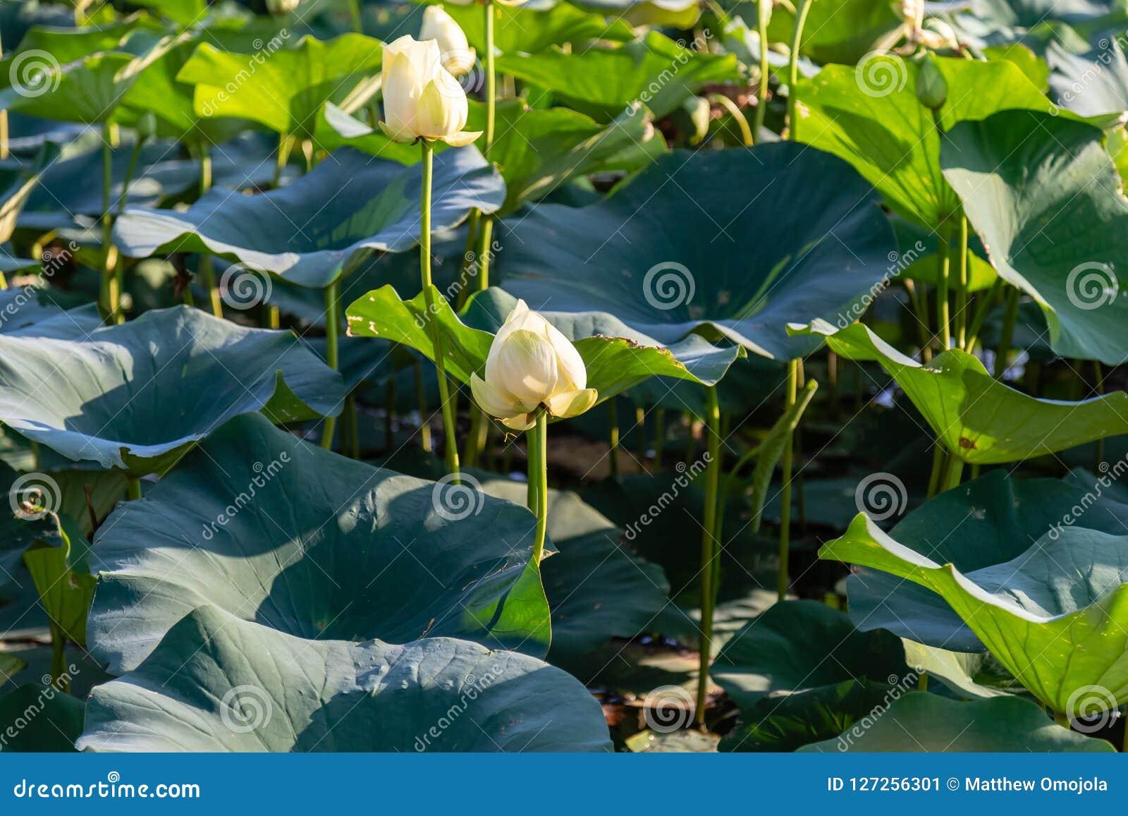 Красивое Waterlily на озере Картере Айове и Омахе Небраске
