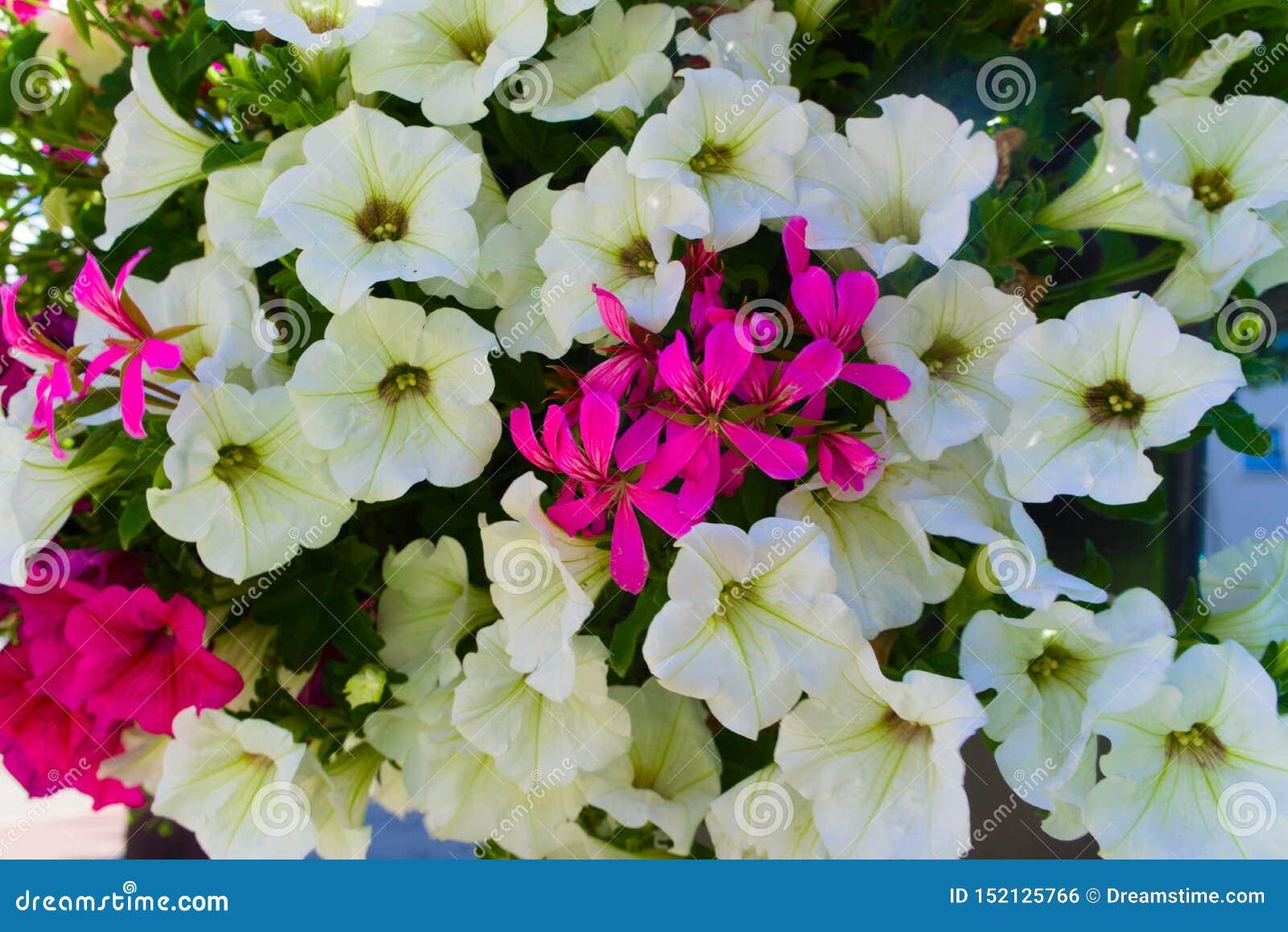 Красивые белые цветки зацветая в саде