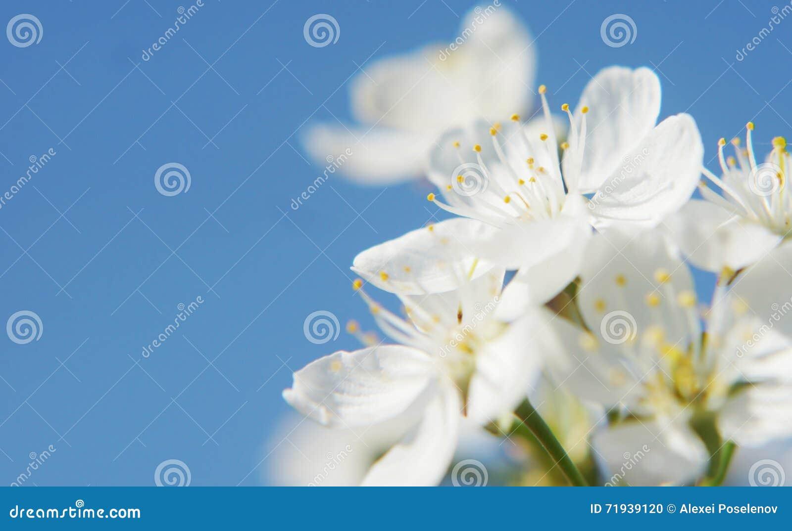 Красивые белые цветки против голубого ясного неба