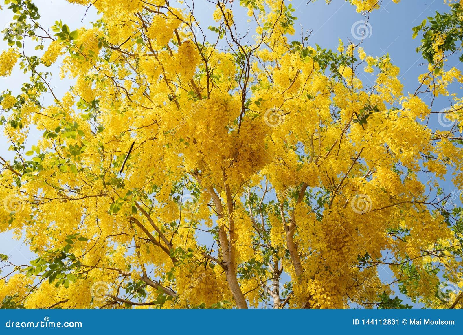 Красивые желтые зацветая цветки, желтый тайский цветок, листья дерева золотого ливня или дерева золотого дождя в пользе лета как