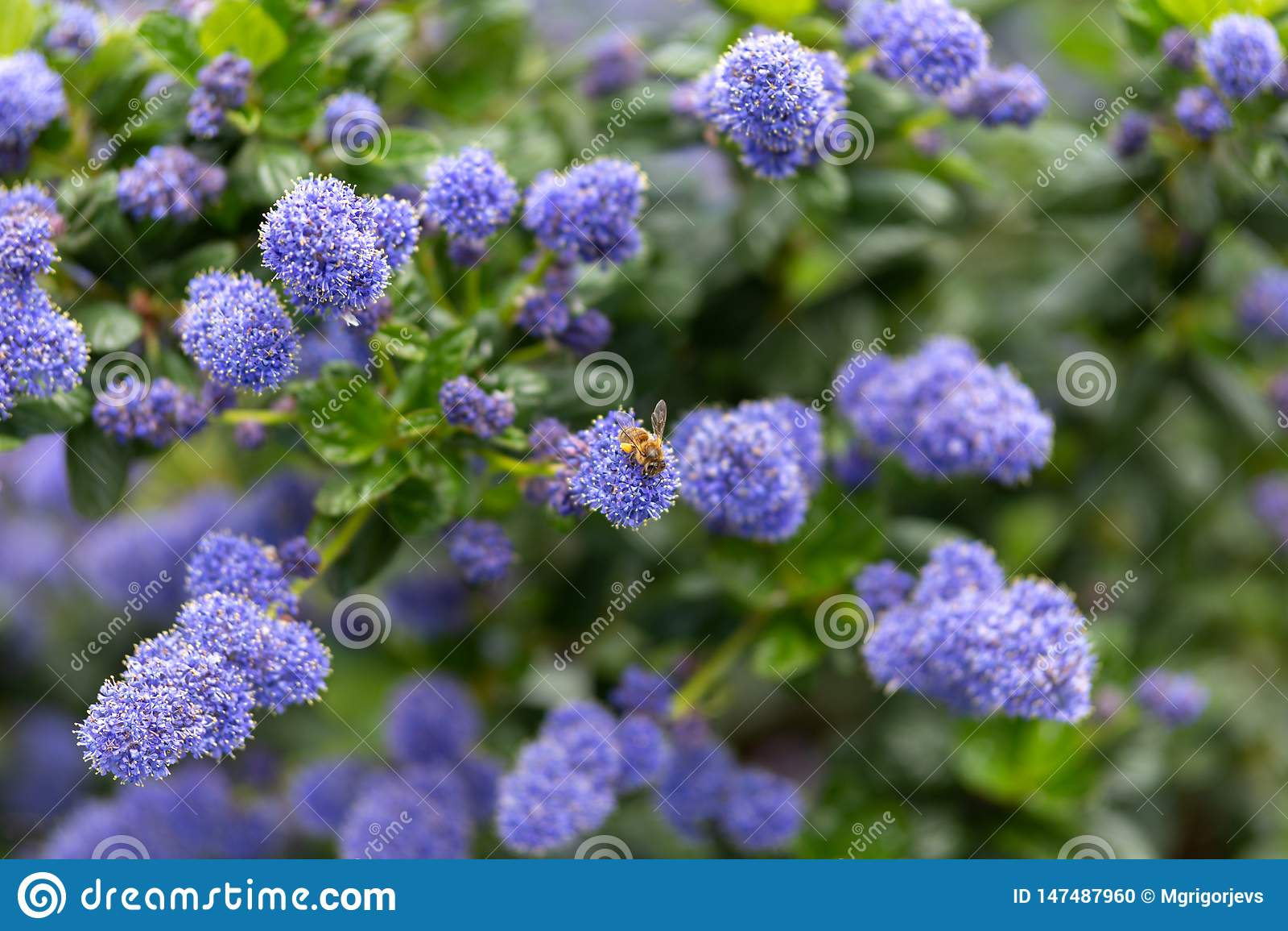 Красивые зацветая пурпурные калифорнийские цветки сирени, repens thyrsiflorus Ceanothus весной садовничают