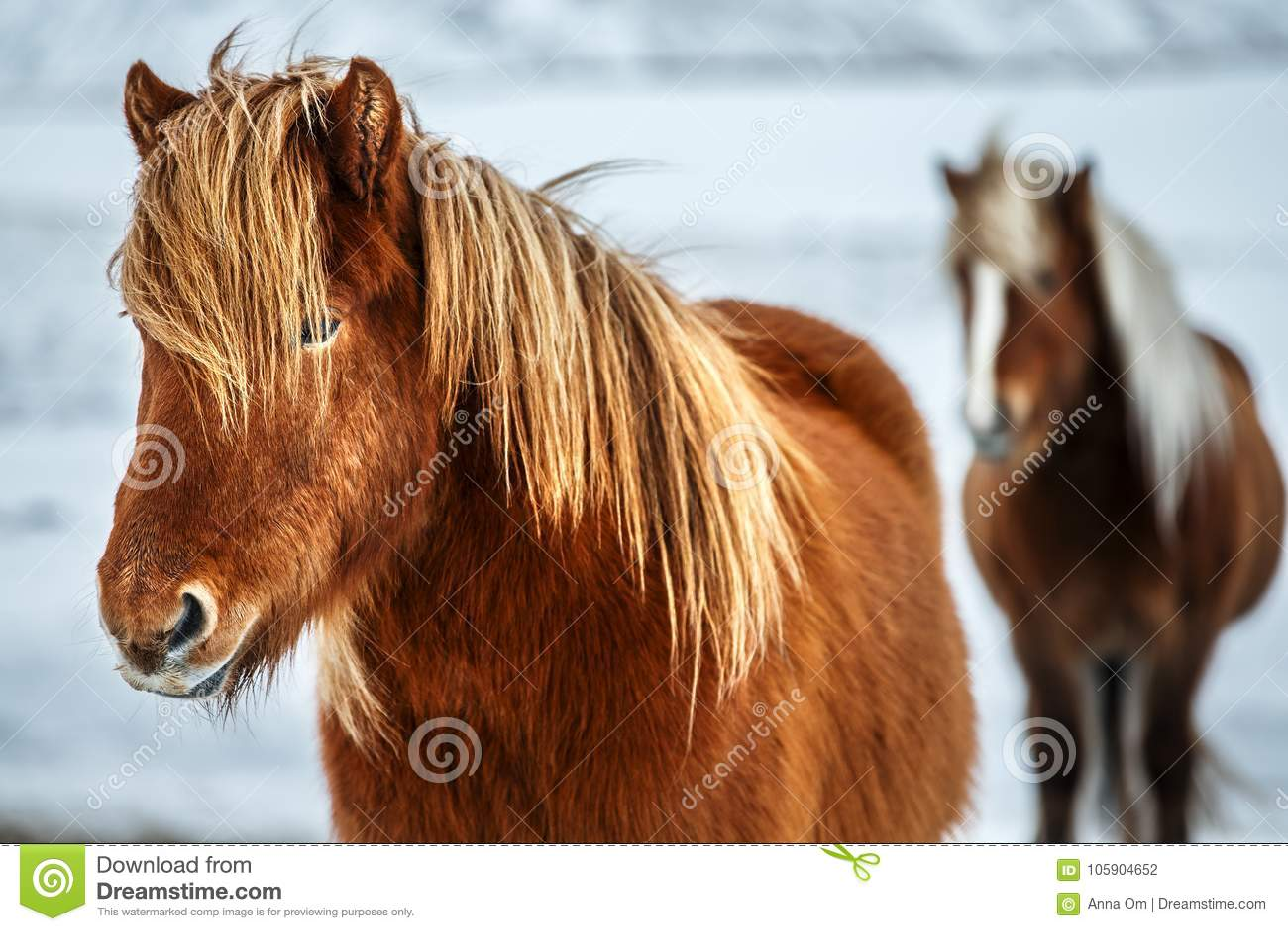 Красивые исландские лошади