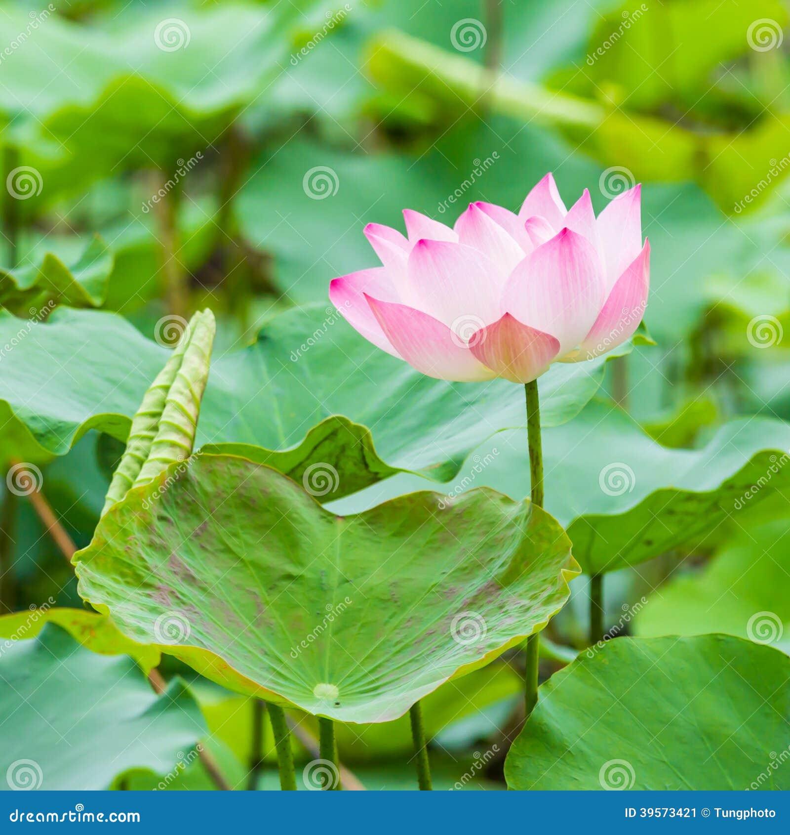 Красивые лилия и лист воды