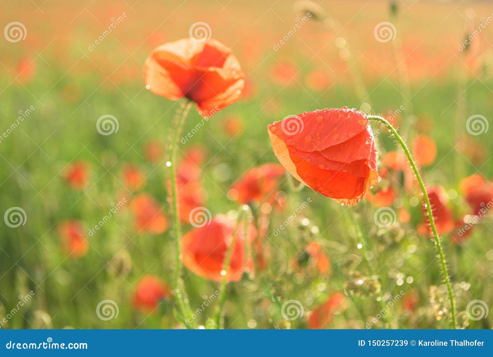 Красивые красные сияющие маки после грозы Падения дождя на цветках