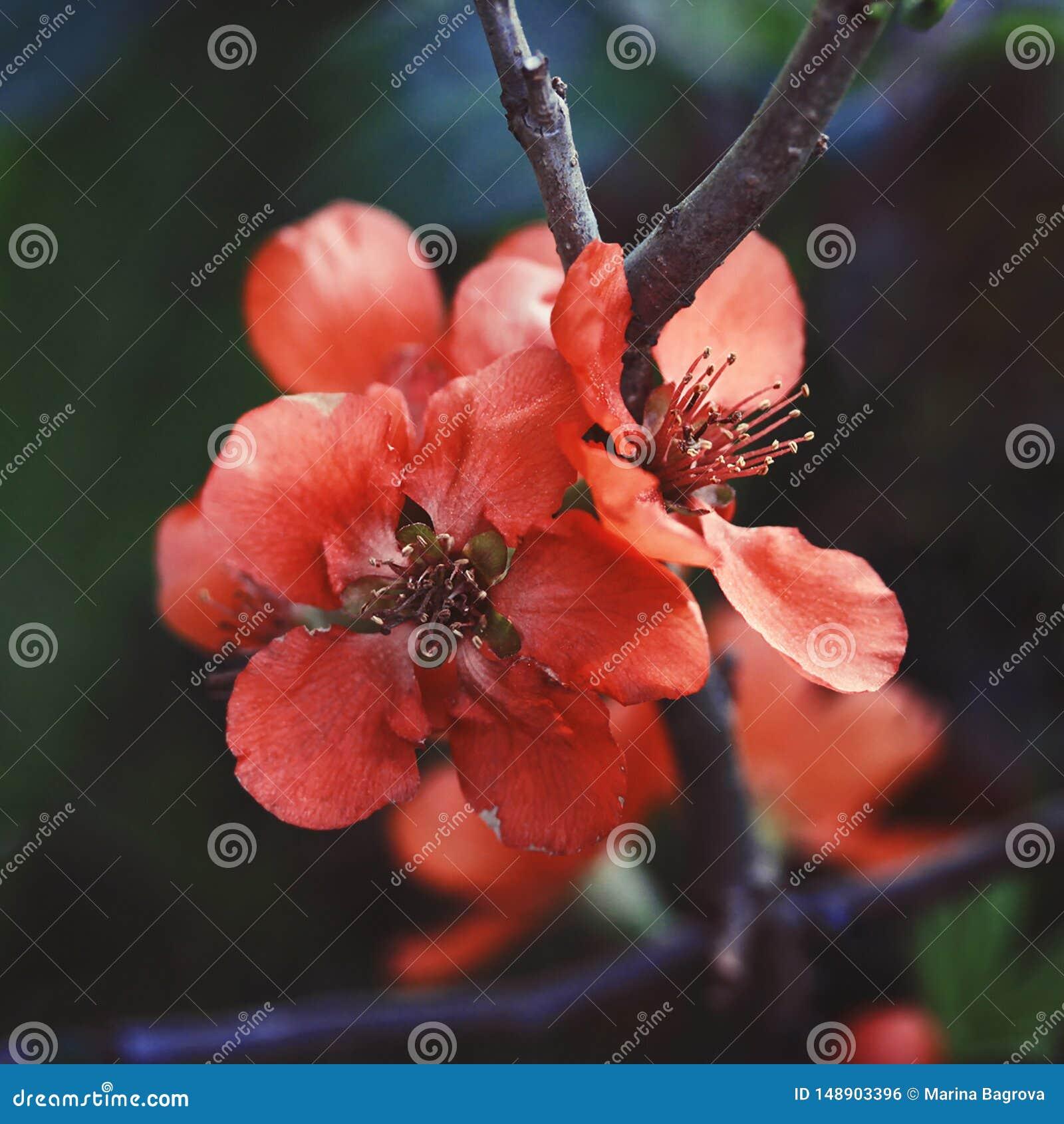 Красивые красные цветки айва, ферз-яблоко, айва яблока на темной ой-зелен предпосылке Полезное орнаментальное фруктовое дерево Ма