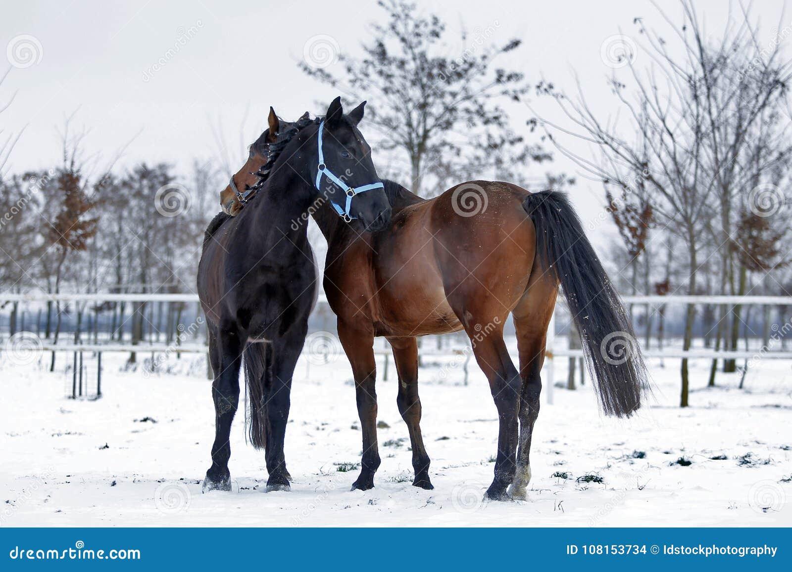 Красивые лошади гонок Hanoverian на снеге