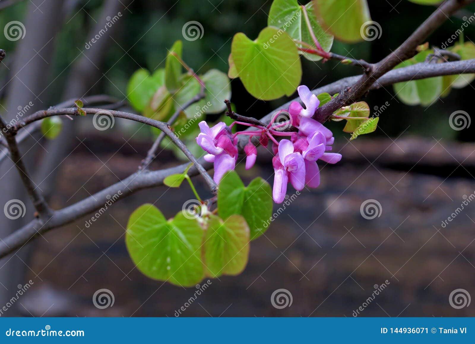 Красивые маленькие розовые цветки на тонких ветвях близко вверх