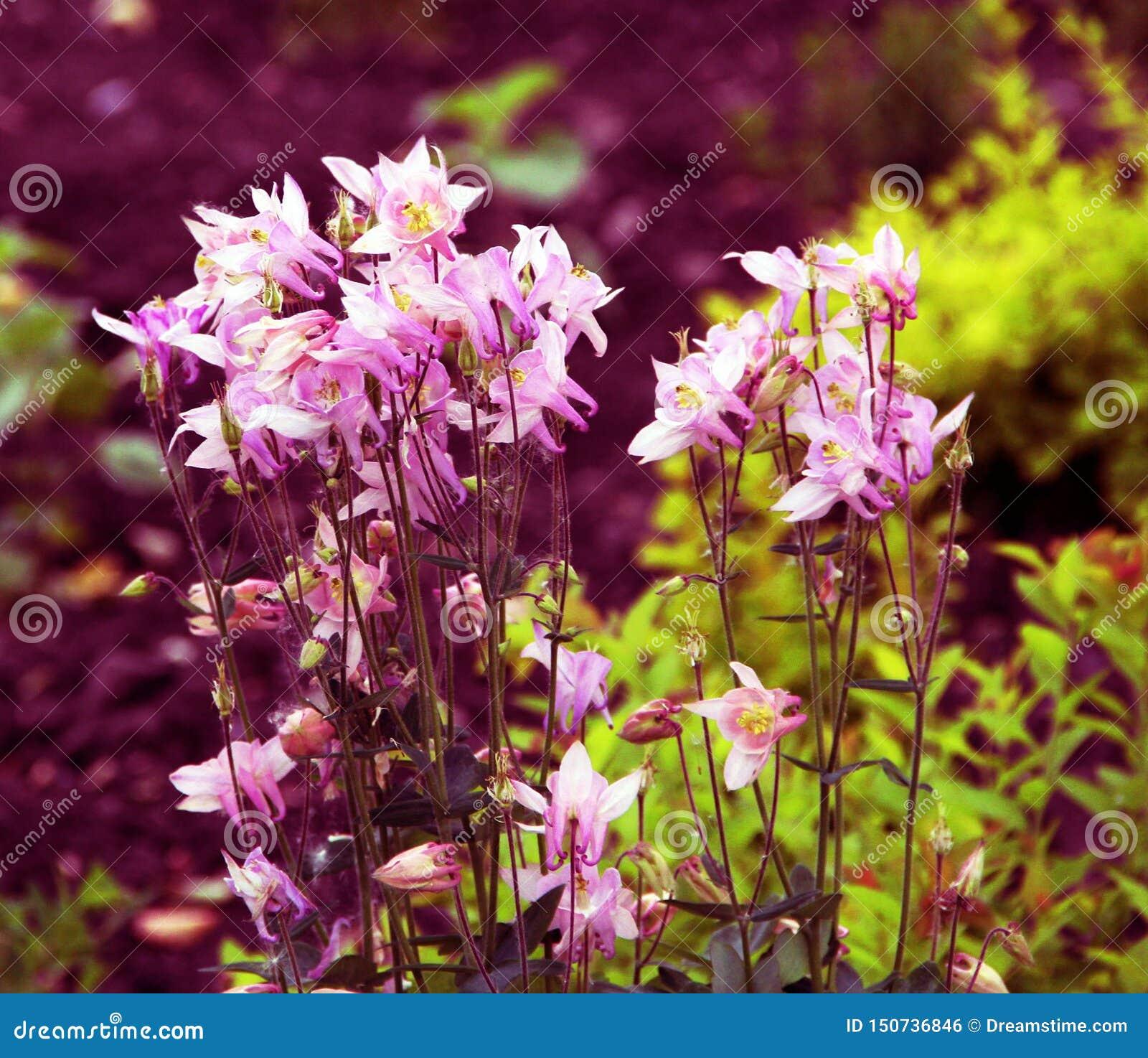 Красивые небольшие розовые цветки на цветнике