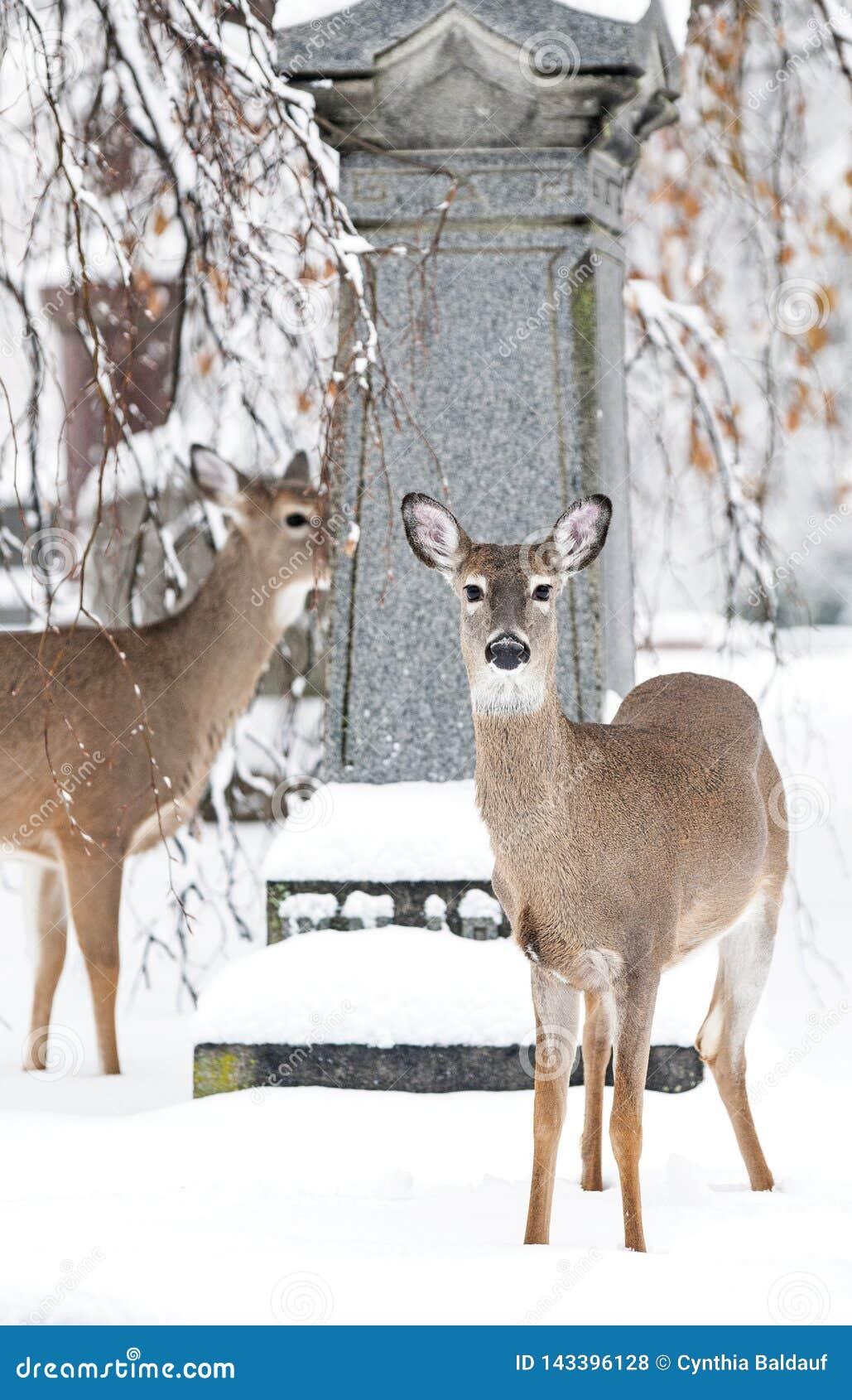 Красивые олени в местном Wintertime кладбища