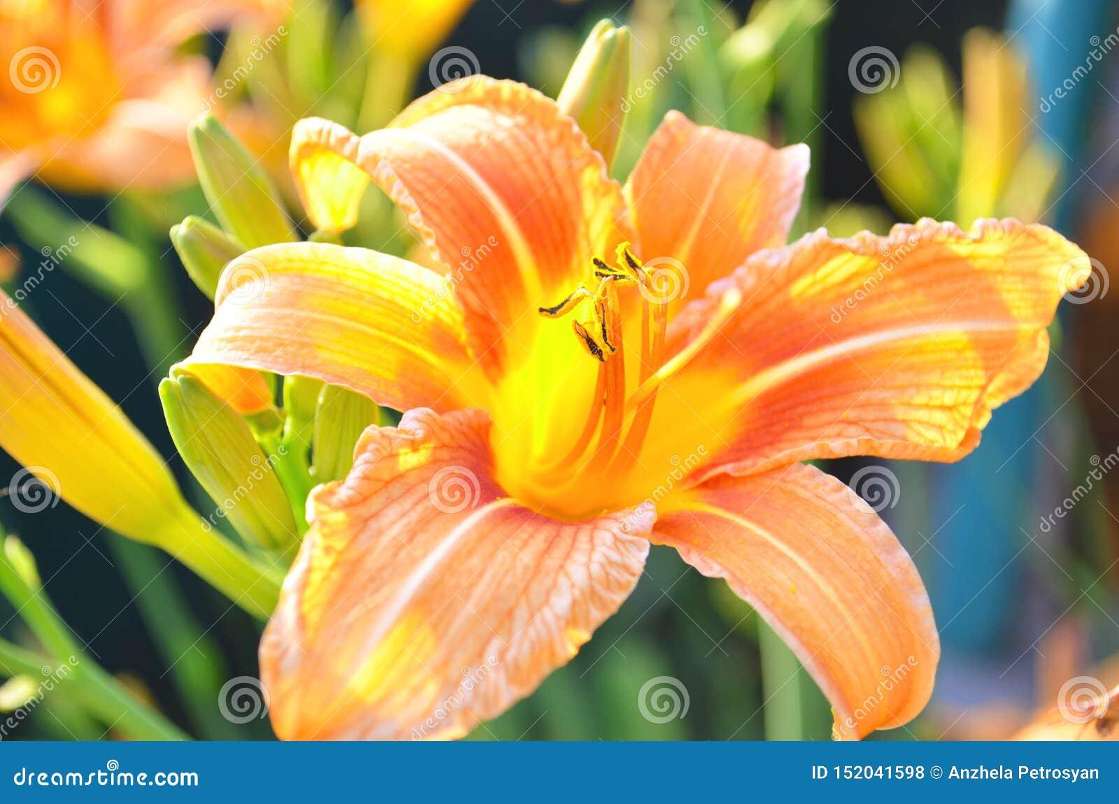Красивые оранжевые лилии в саде