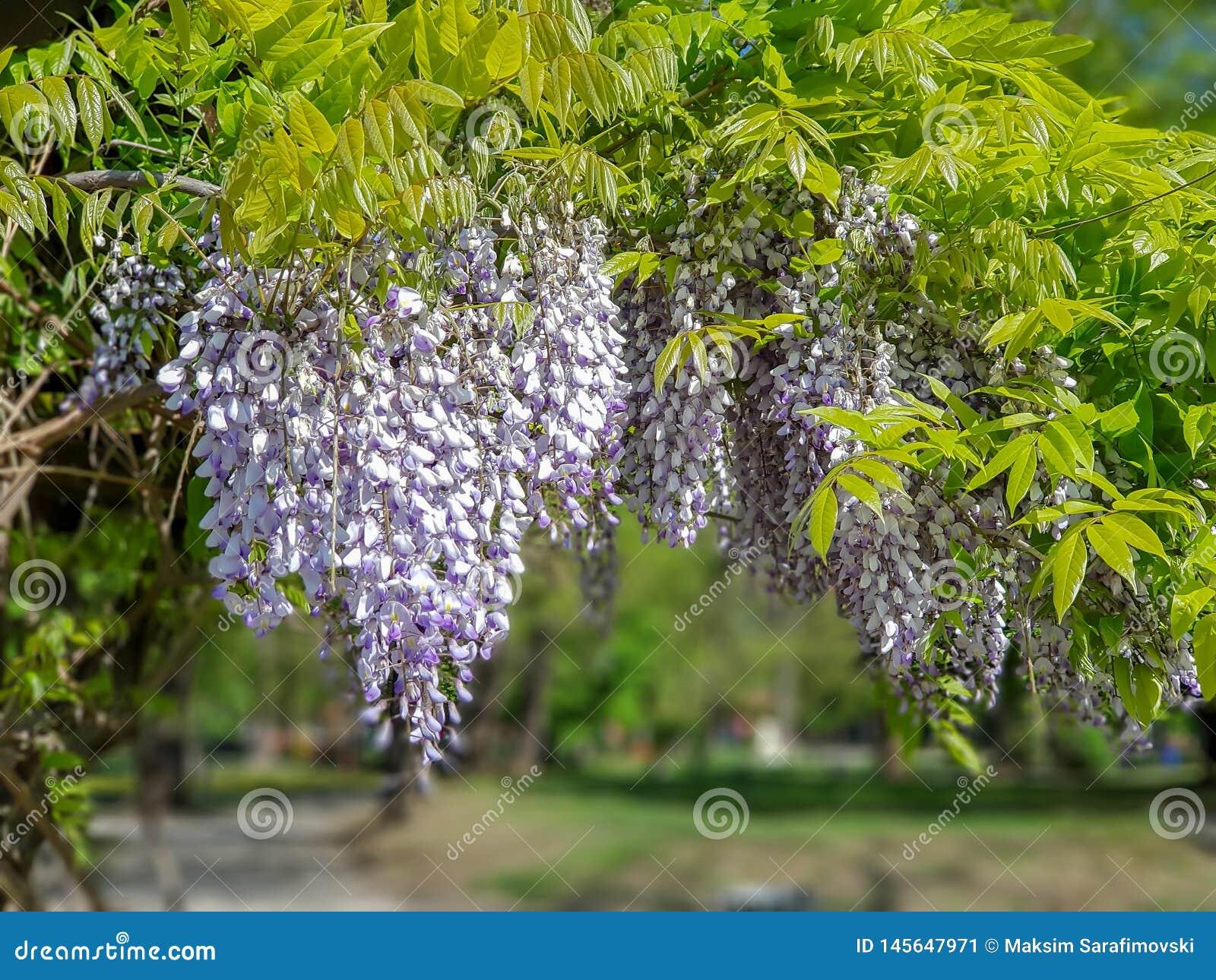 Красивые пурпурные цветки сирени вися на дереве outdoors