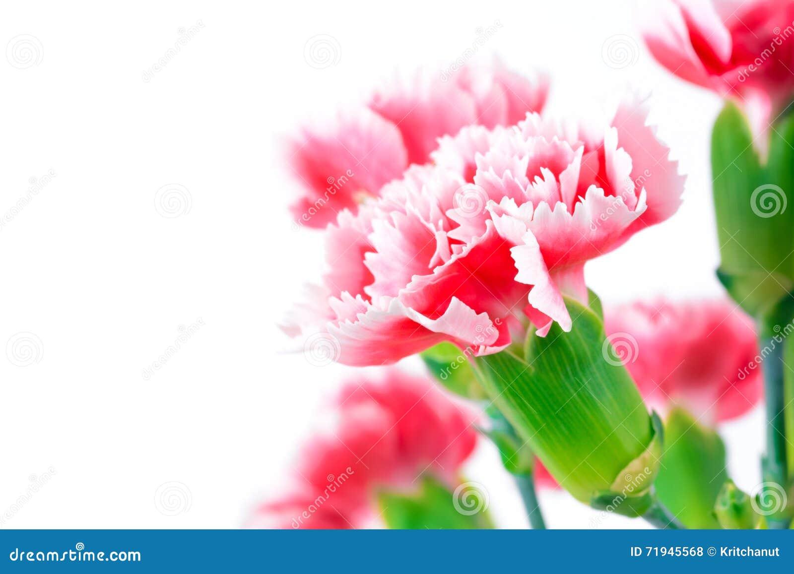 Красивые розовые цветки гвоздики, дизайн границы