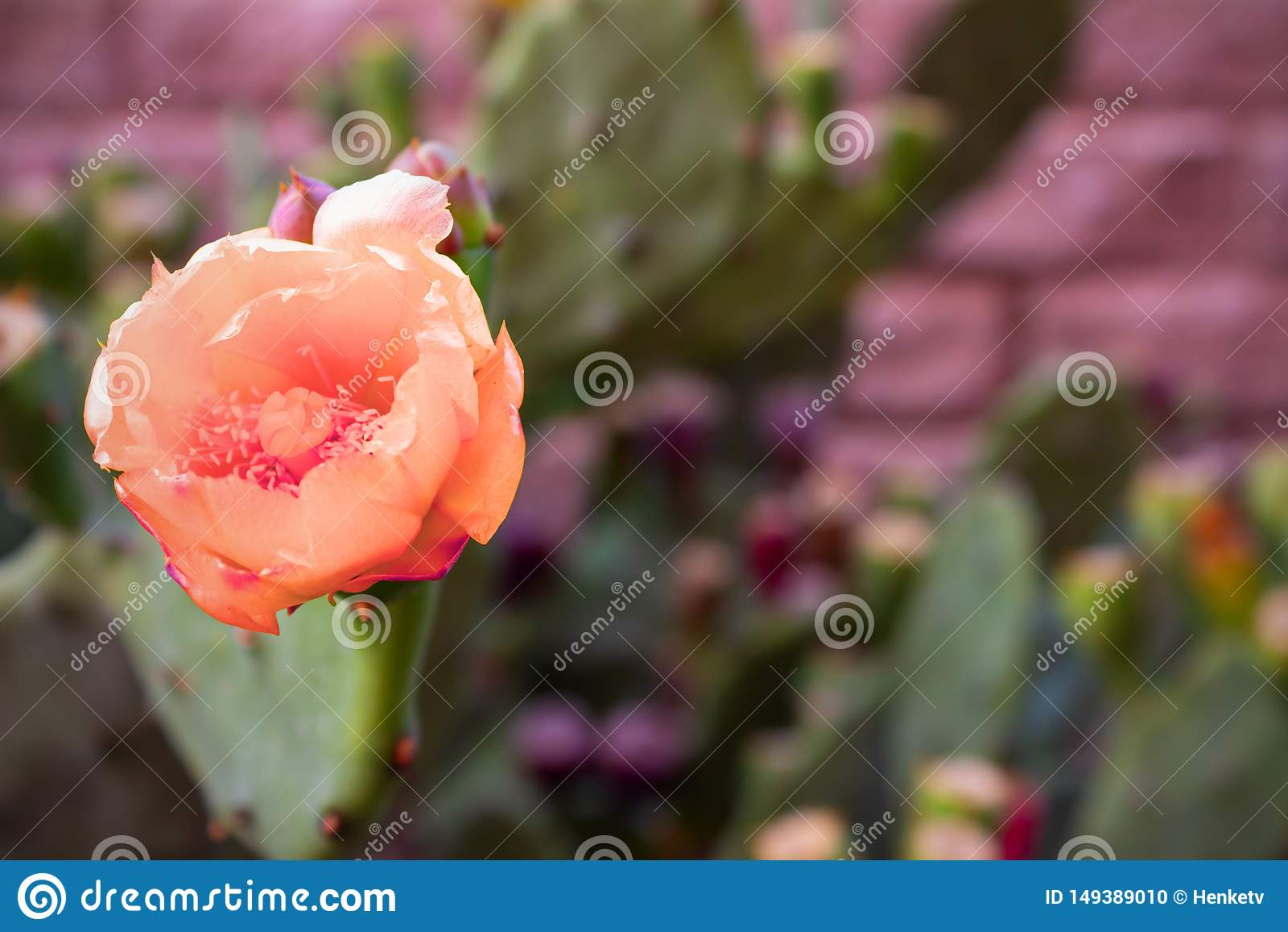 Красивые розовые цветки колючего кактуса