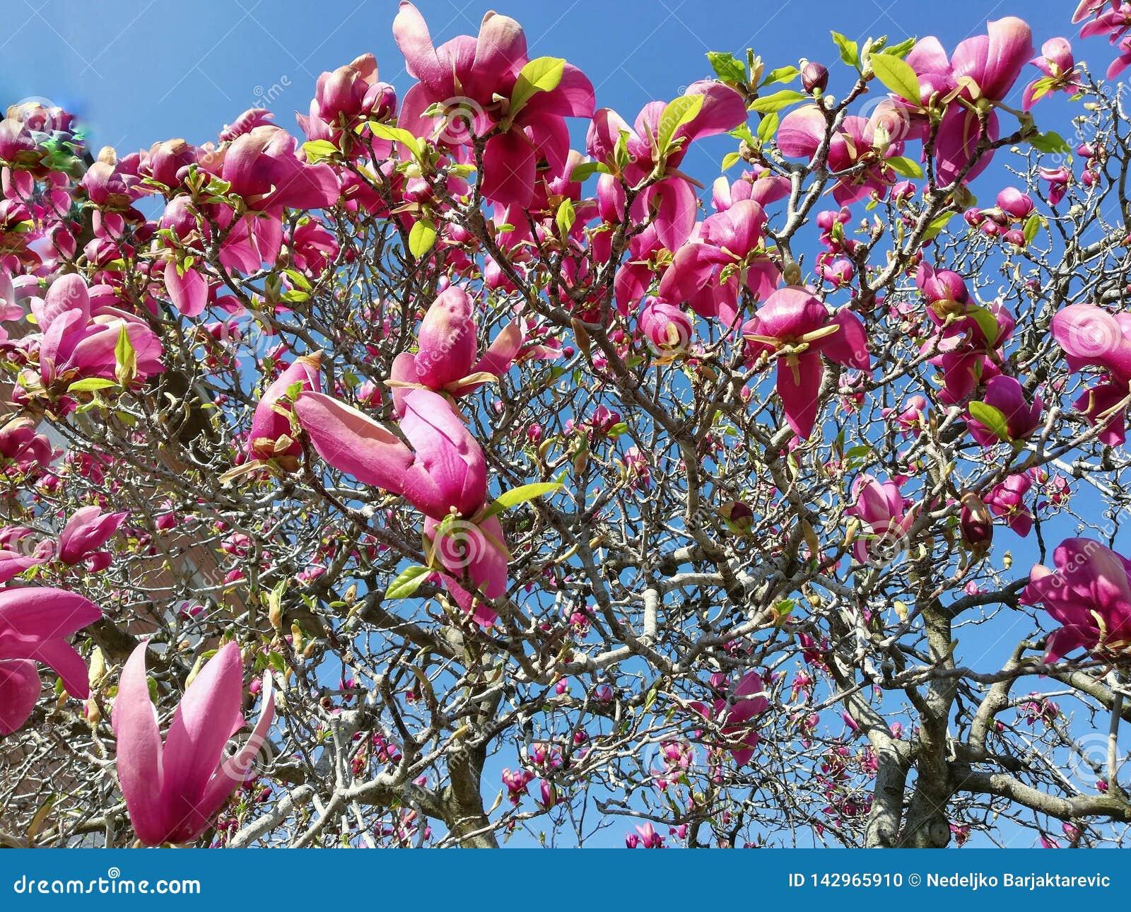 Красивые цветки магнолии в предыдущей весне