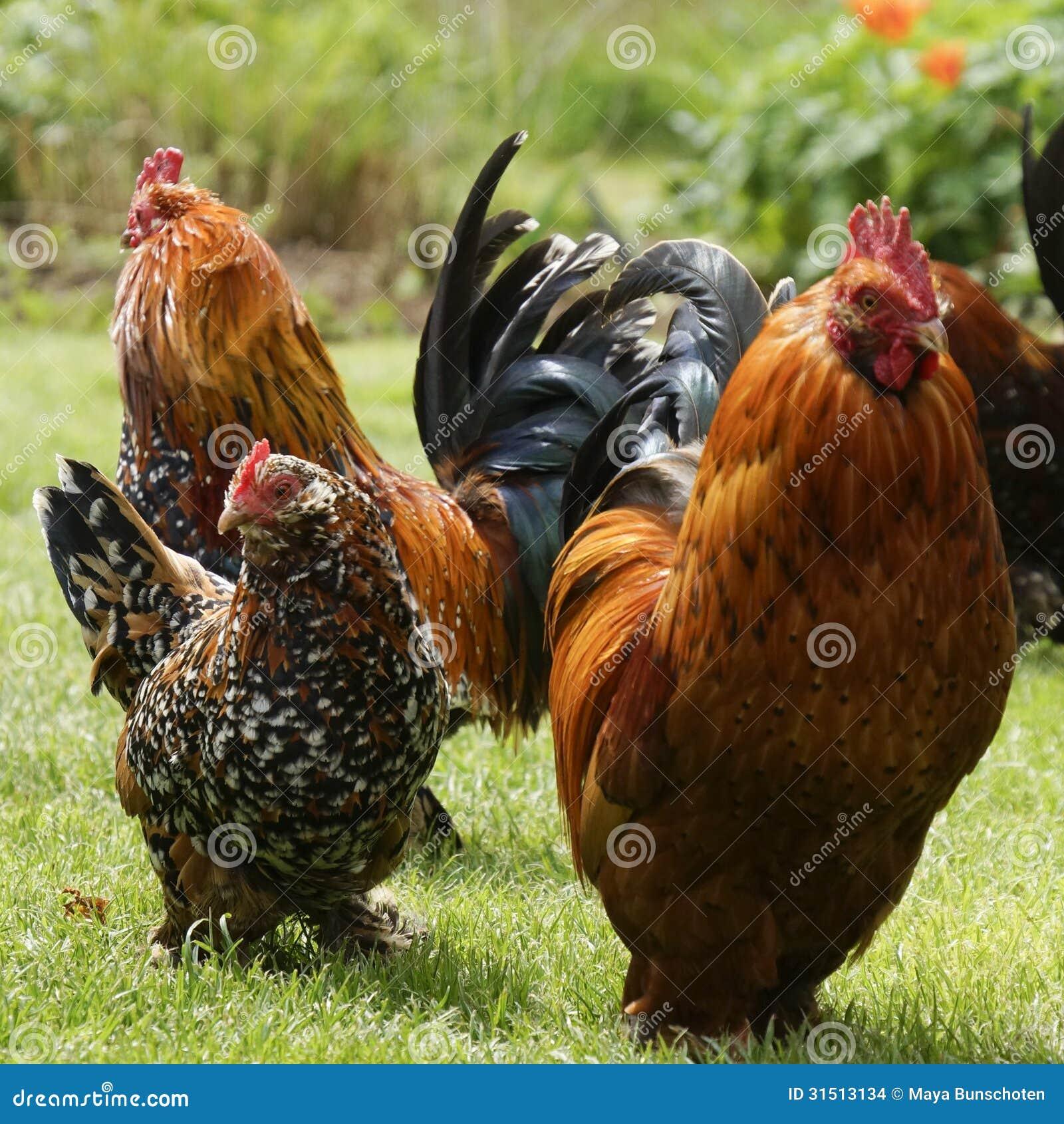 Красивые цыплята