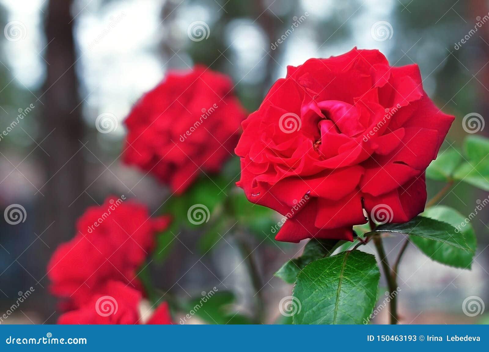 Красивые яркие красные розы растя на кустах