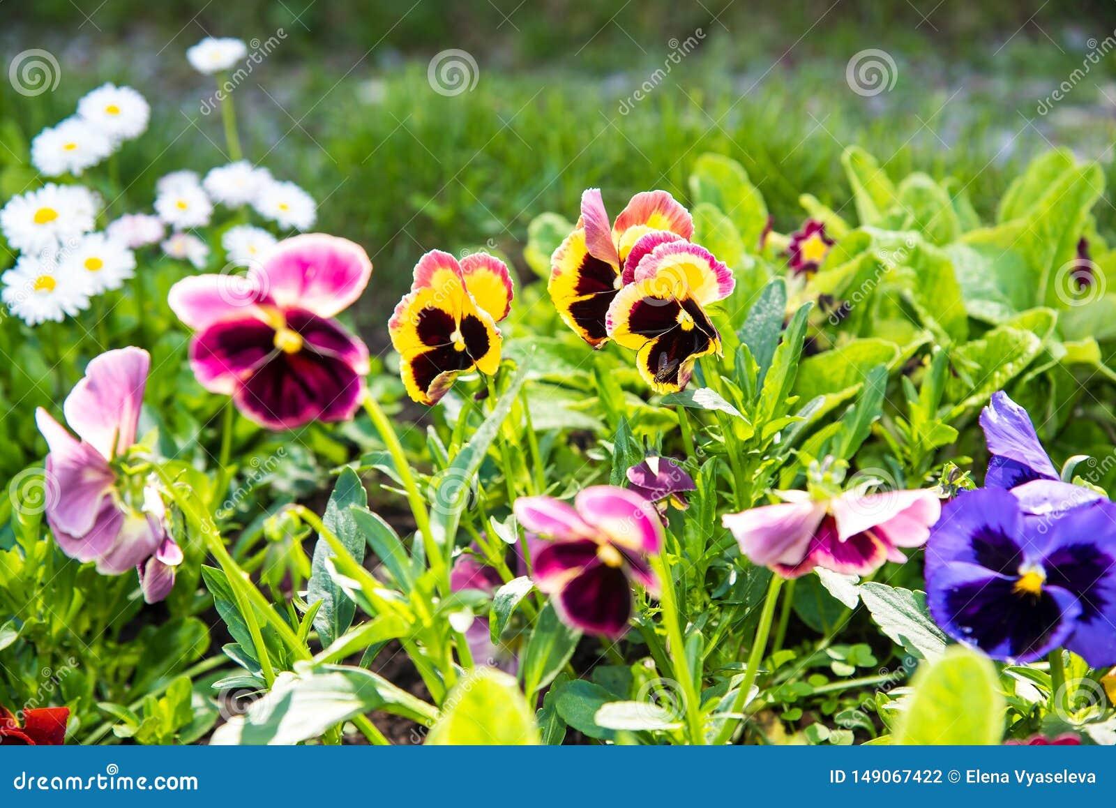 Красивые Pansies или альты растя на flowerbed в саде Украшение сада