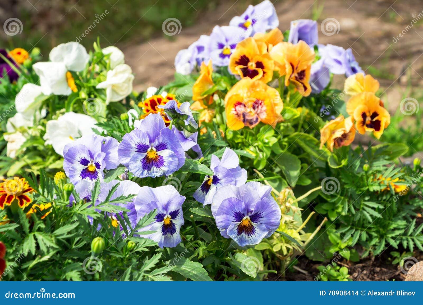 Красивые Pansies или альты растя на flowerbed в саде