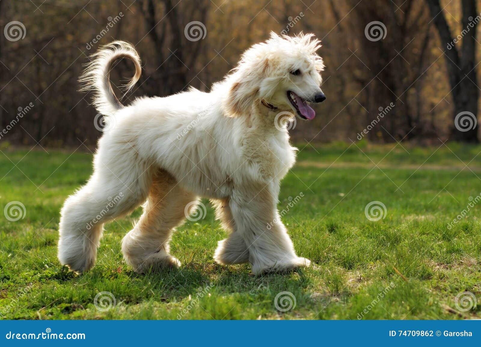фото собака афганец