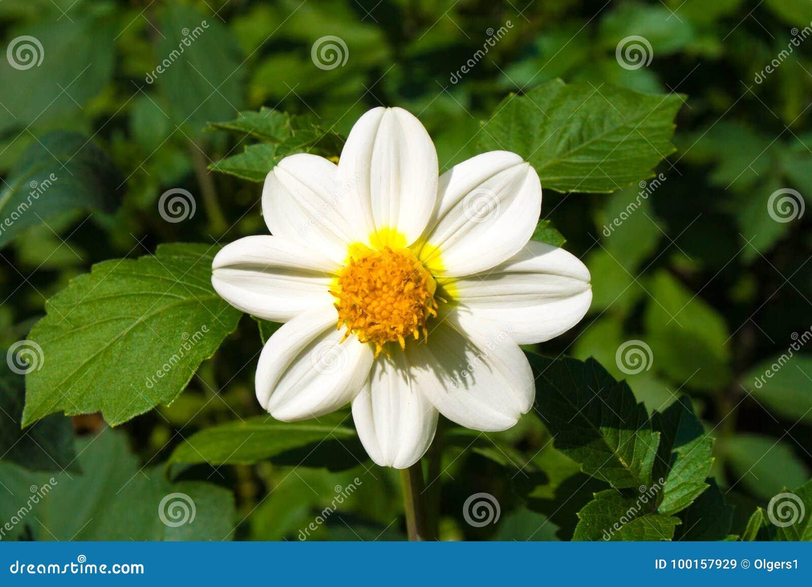 Красивый белый цветок георгина