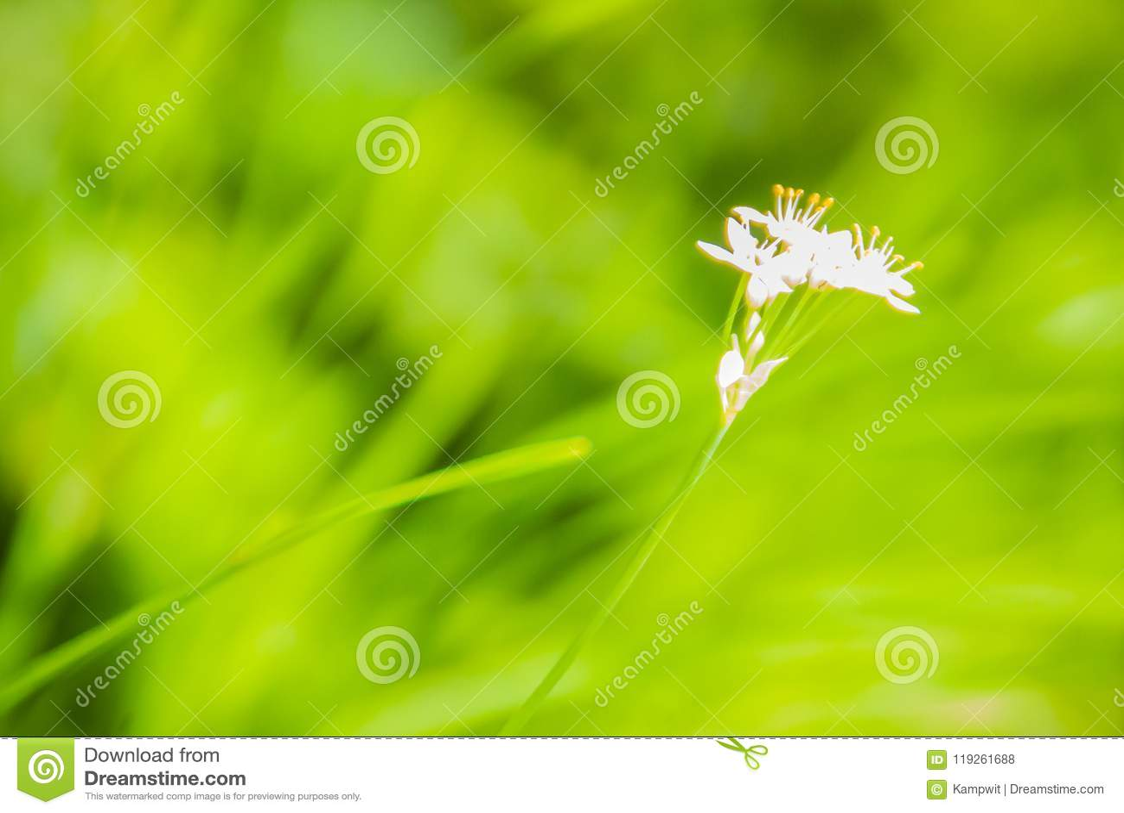 Красивый белый цветок tuberosum лукабатуна (chives чеснока, восточного чеснока, азиатских chives, китайских chives, китайского лу