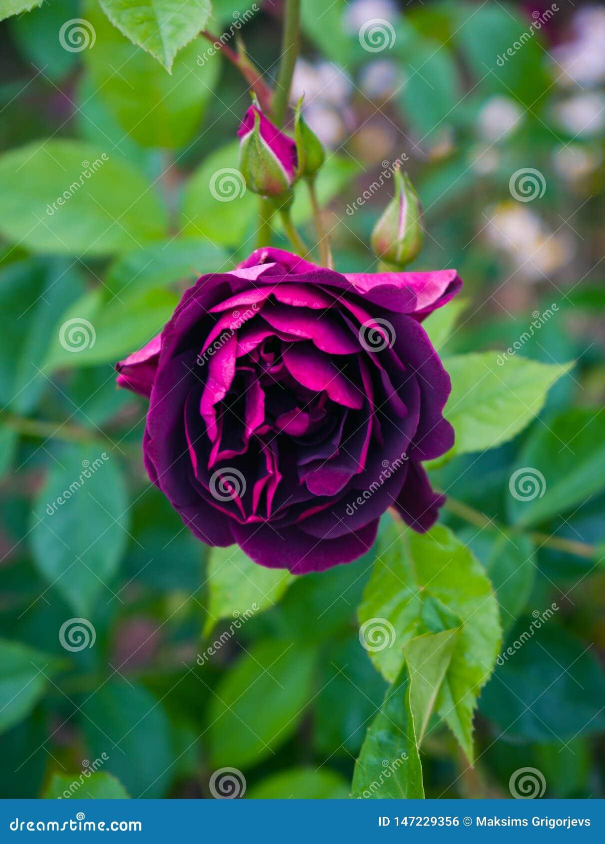 Красивый бургундский пурпур поднял в сад