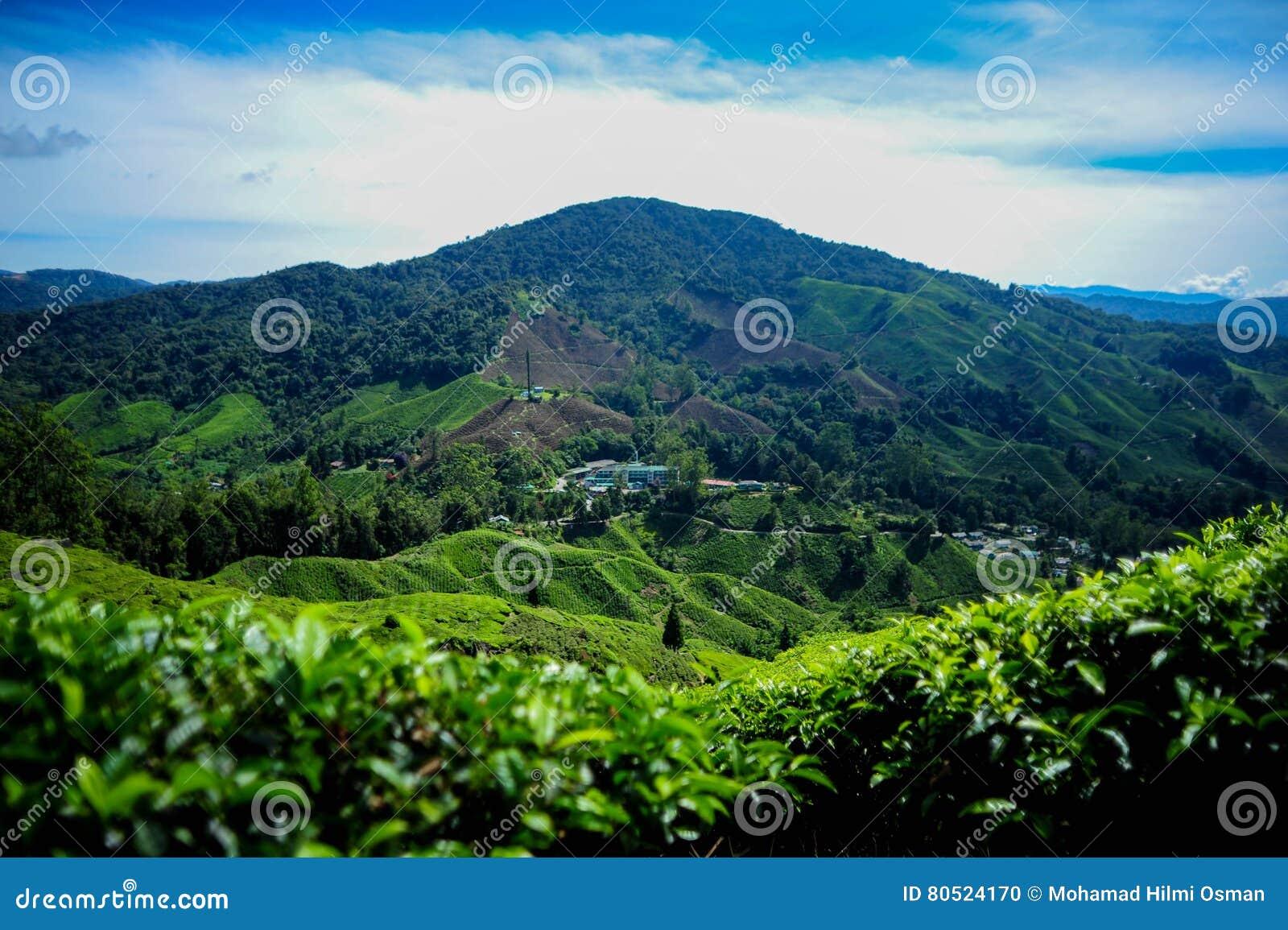 Красивый вид на плантации чая в гористой местности Камерона