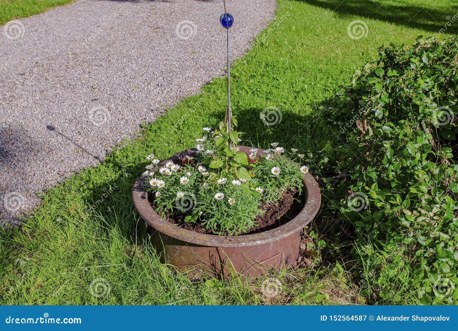Красивый вид цветков маргаритки в большом коричневом баке вне дома Красивые предпосылки природы лета