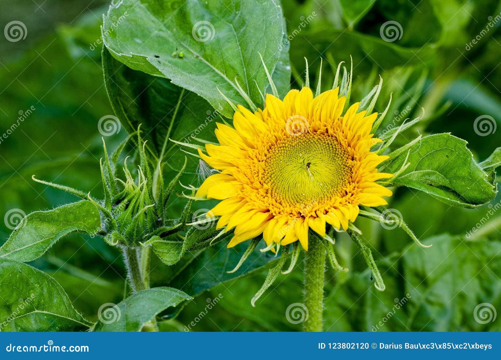 Красивый декоративный солнцецвет в саде