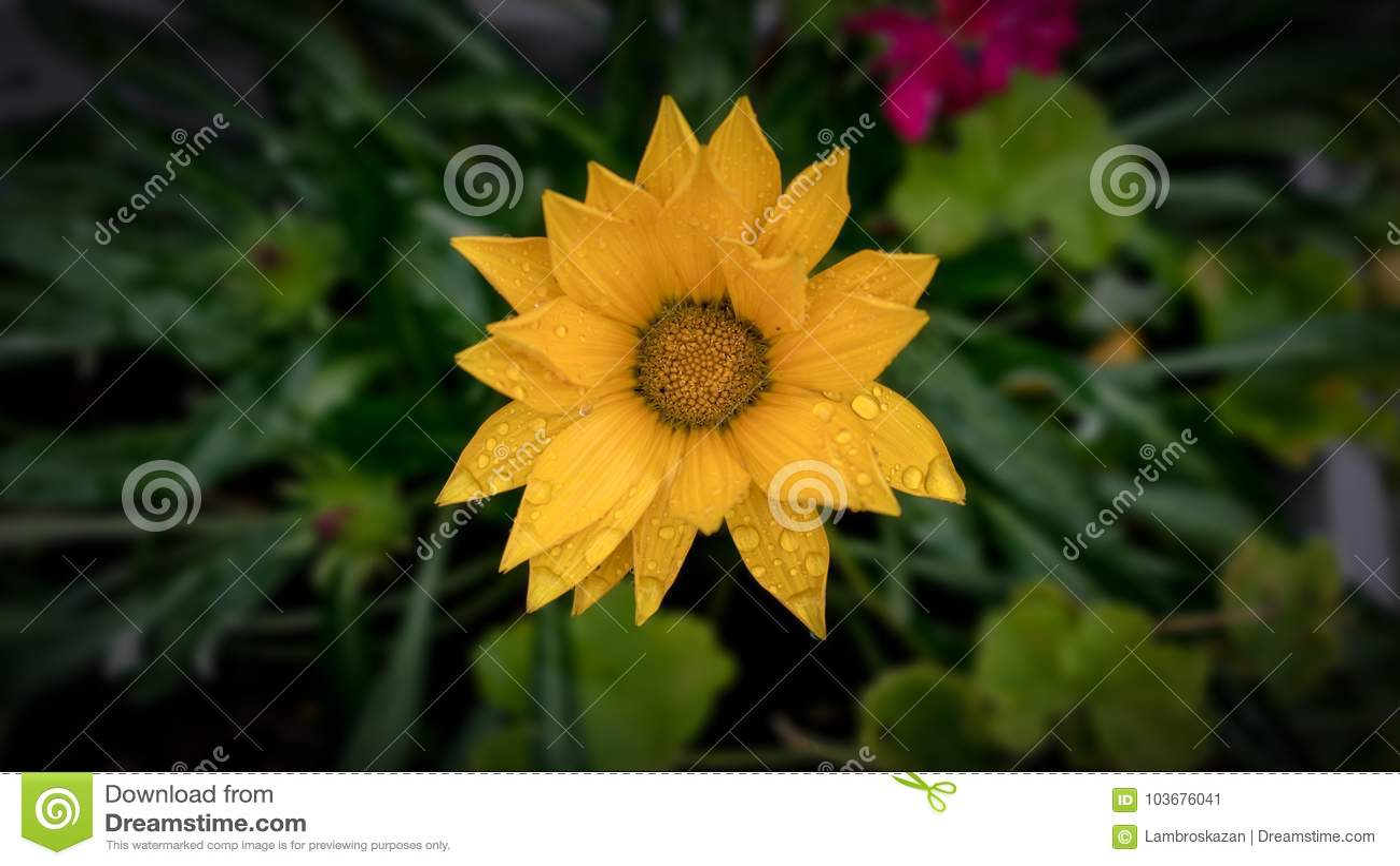 Красивый желтый цветок после дождя