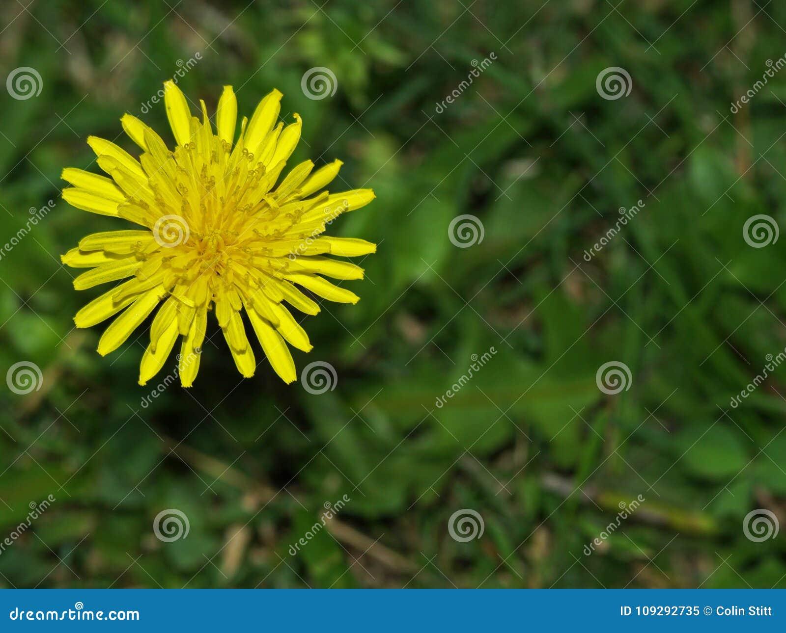 Красивый желтый dasiy цветок