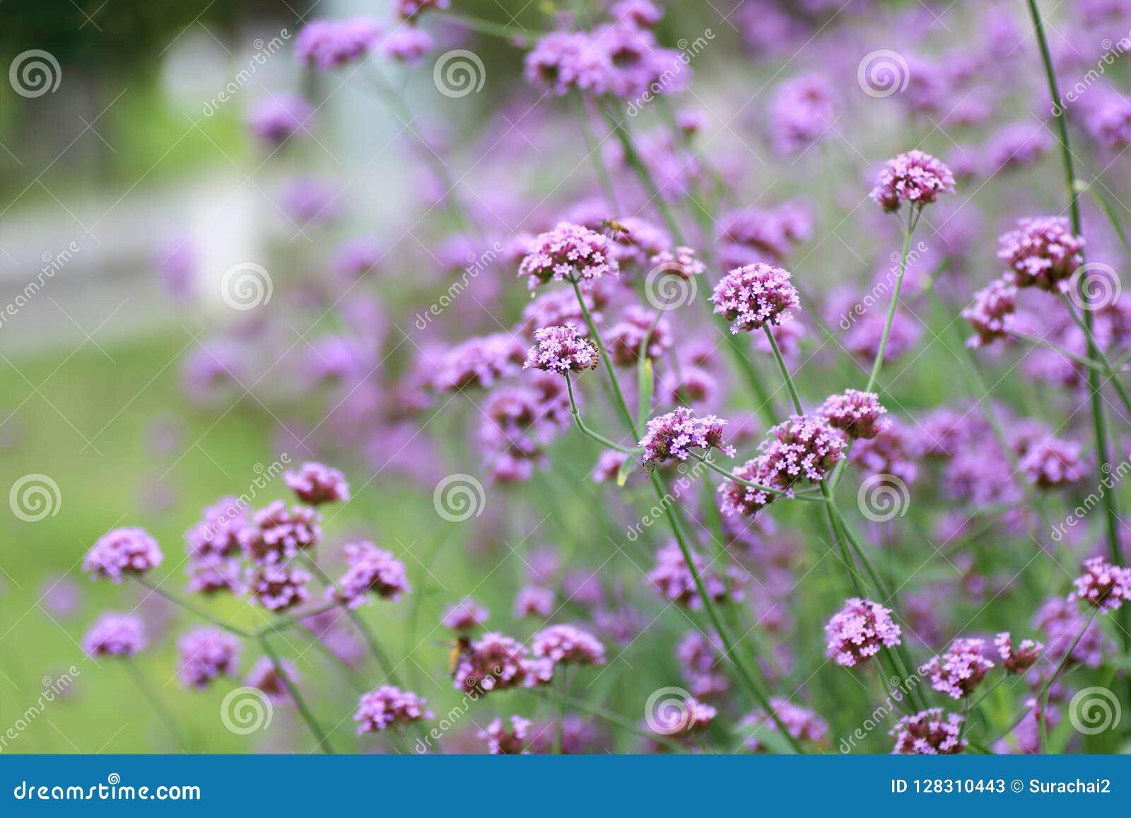 Красивый зацветая пурпурный цветок вербены в саде