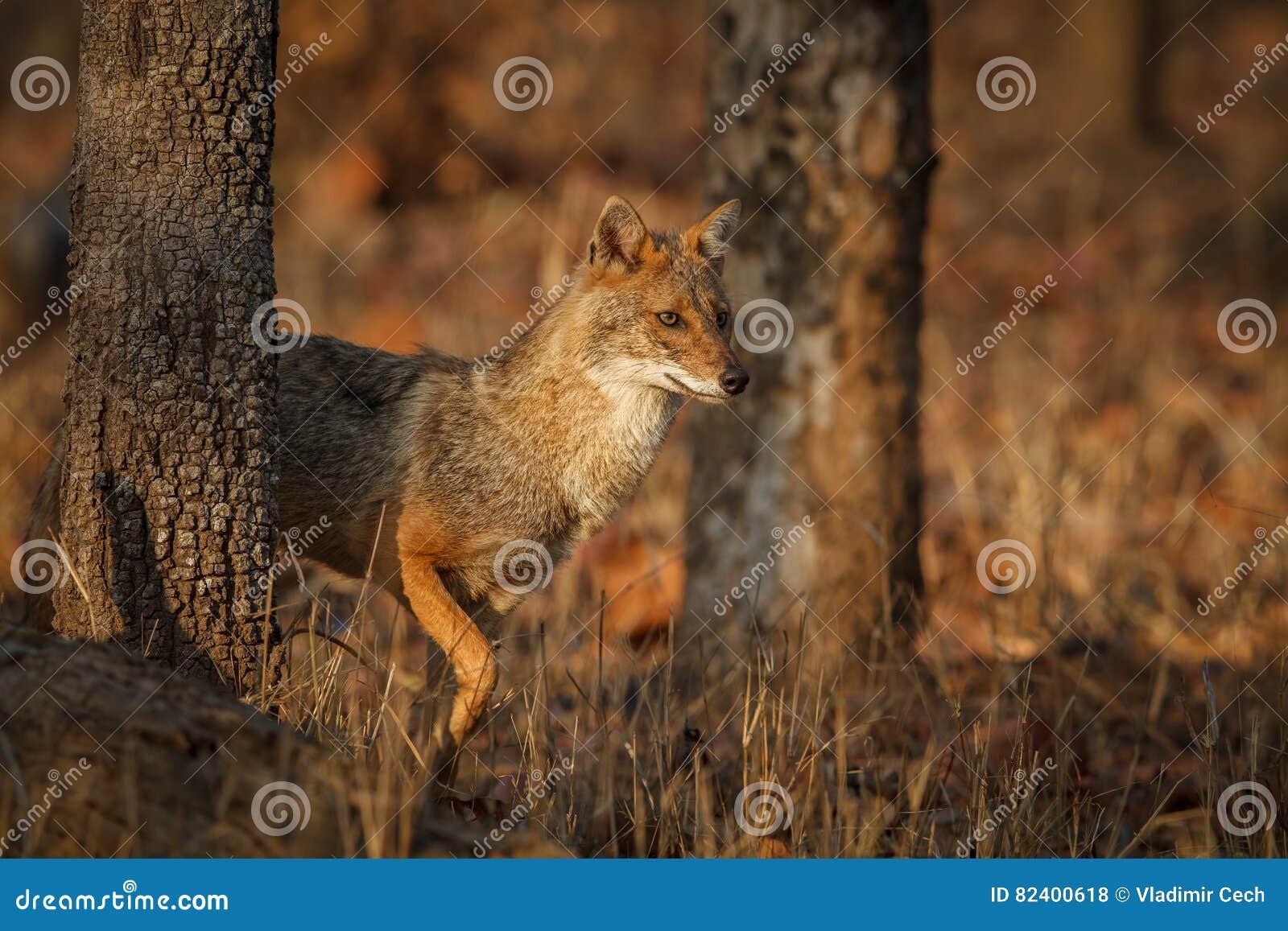 Красивый золотой jackal в славном мягком свете в Индии