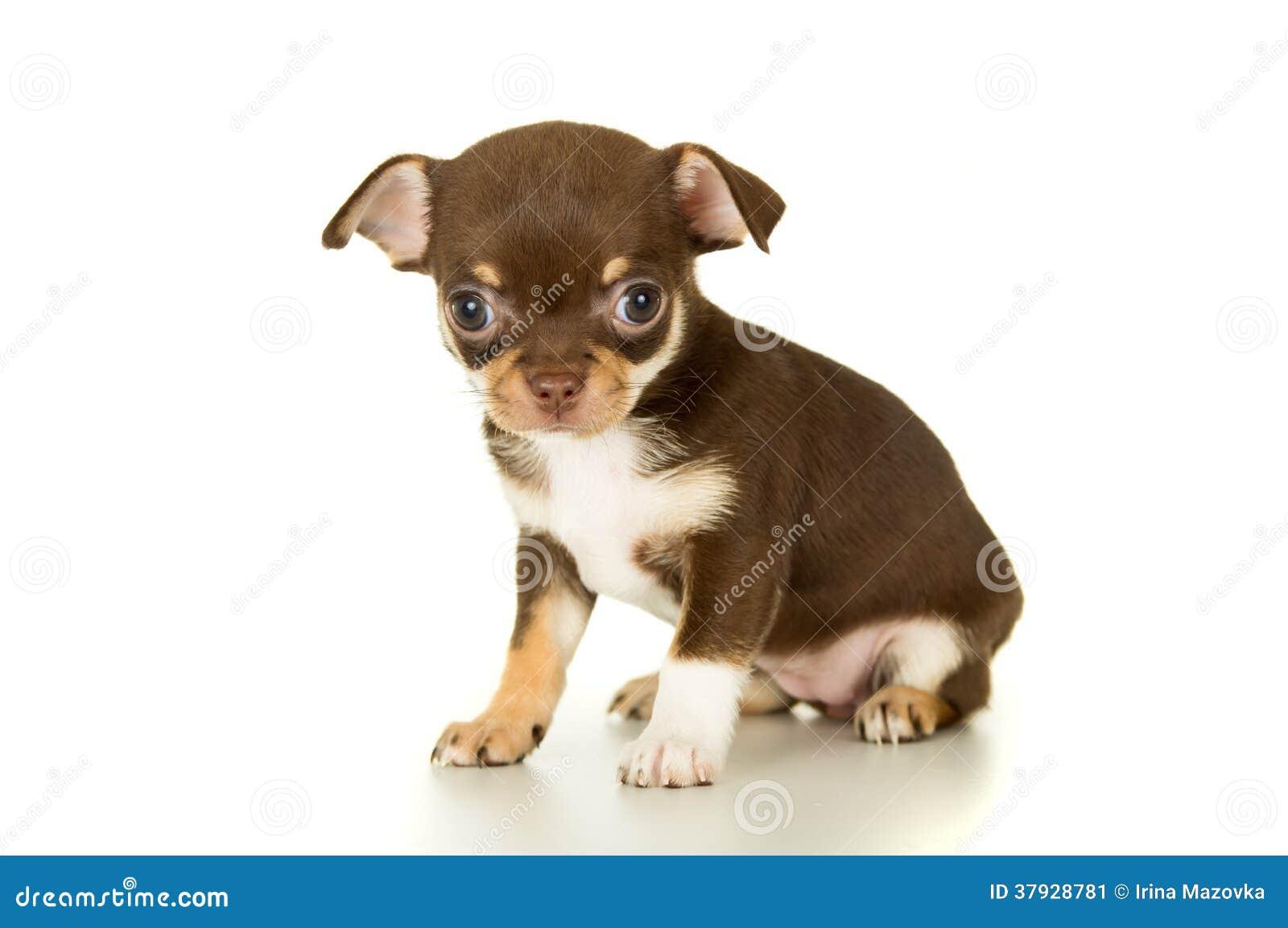 Красивый коричневый щенок чихуахуа