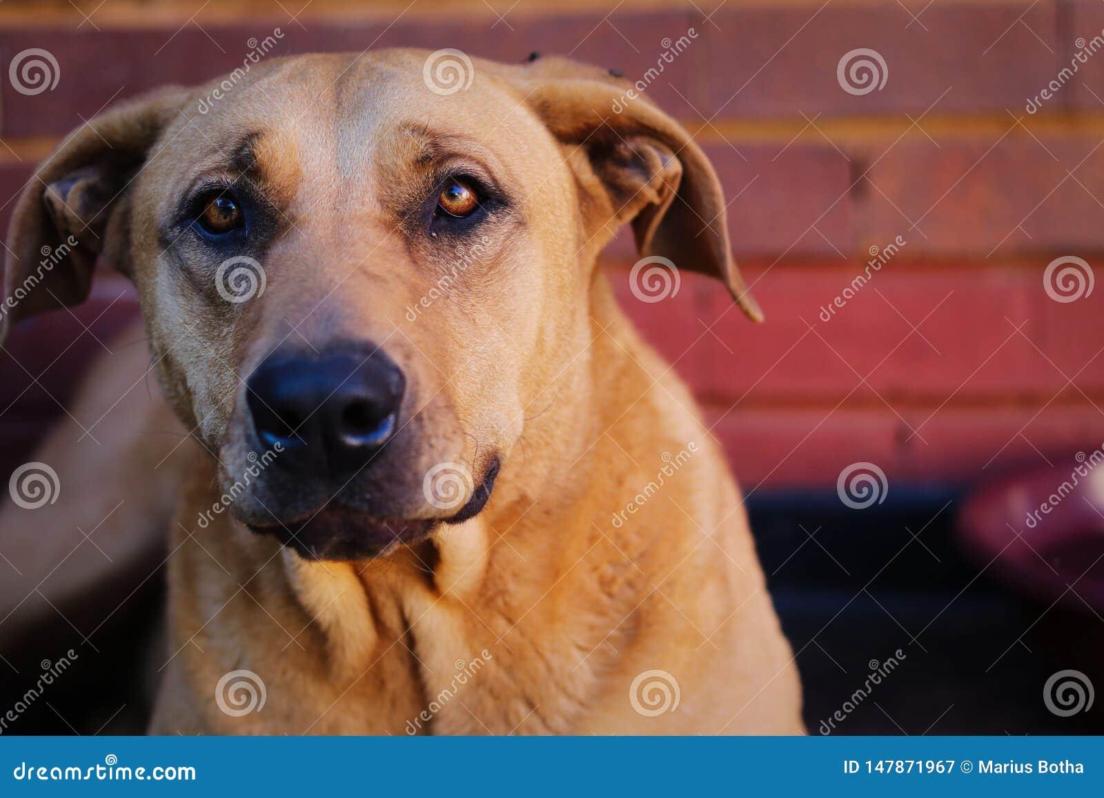 Красивый крупный план Rhodesian Ridgeback портрета собаки