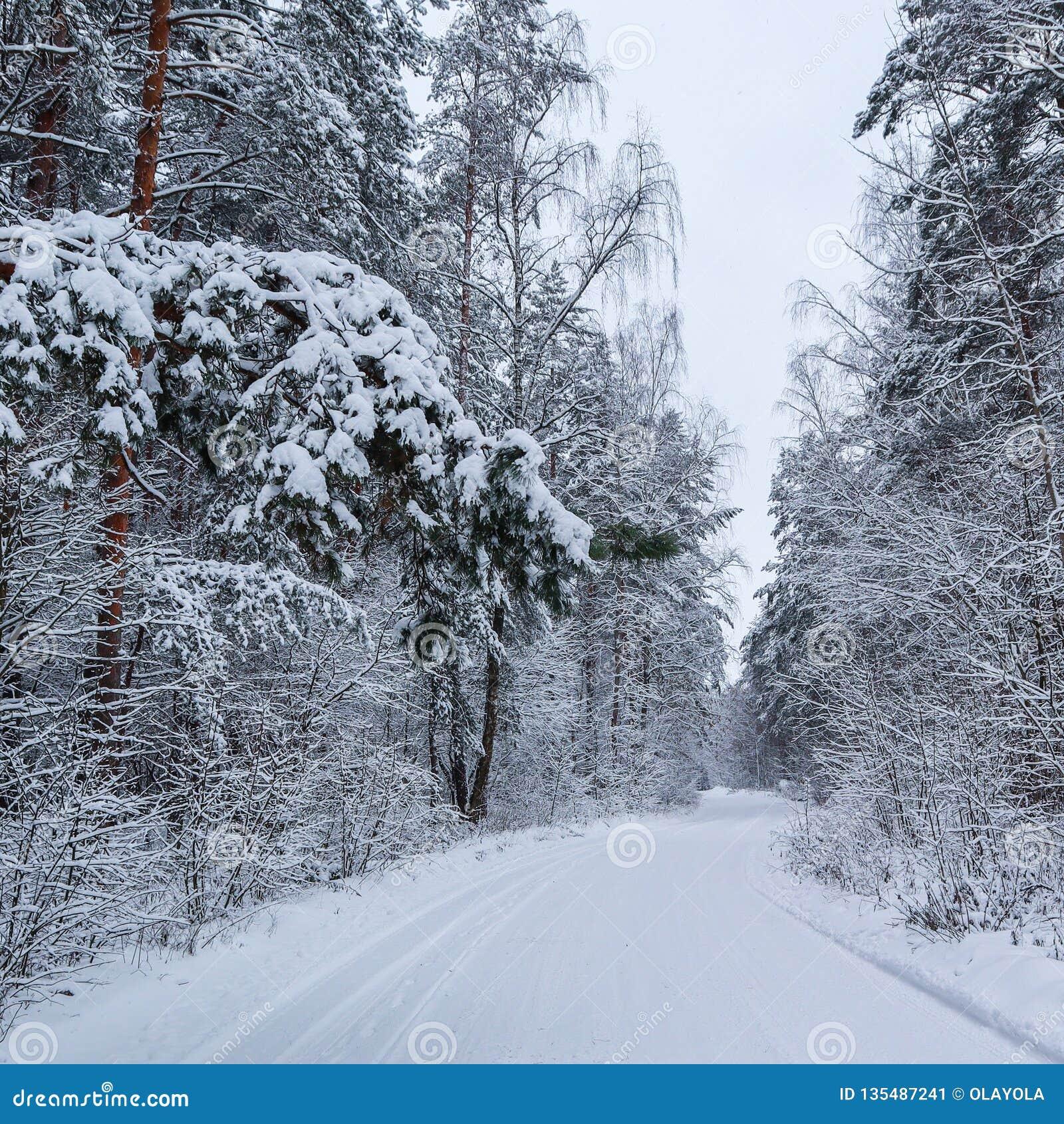 Красивый лес зимы со снежными деревьями и белой снежной дорогой Ветвь сосны над дорогой и много хворостин покрытых со снегом