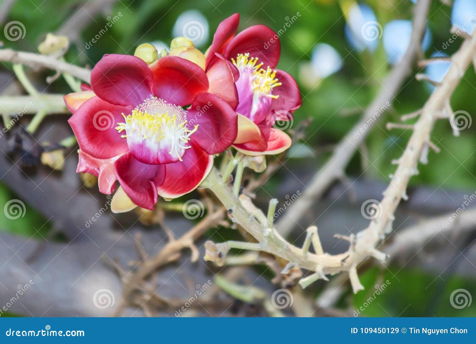Красивый макрос снял цветка от необыкновенного guianensis Couroupita дерева пушечного ядра
