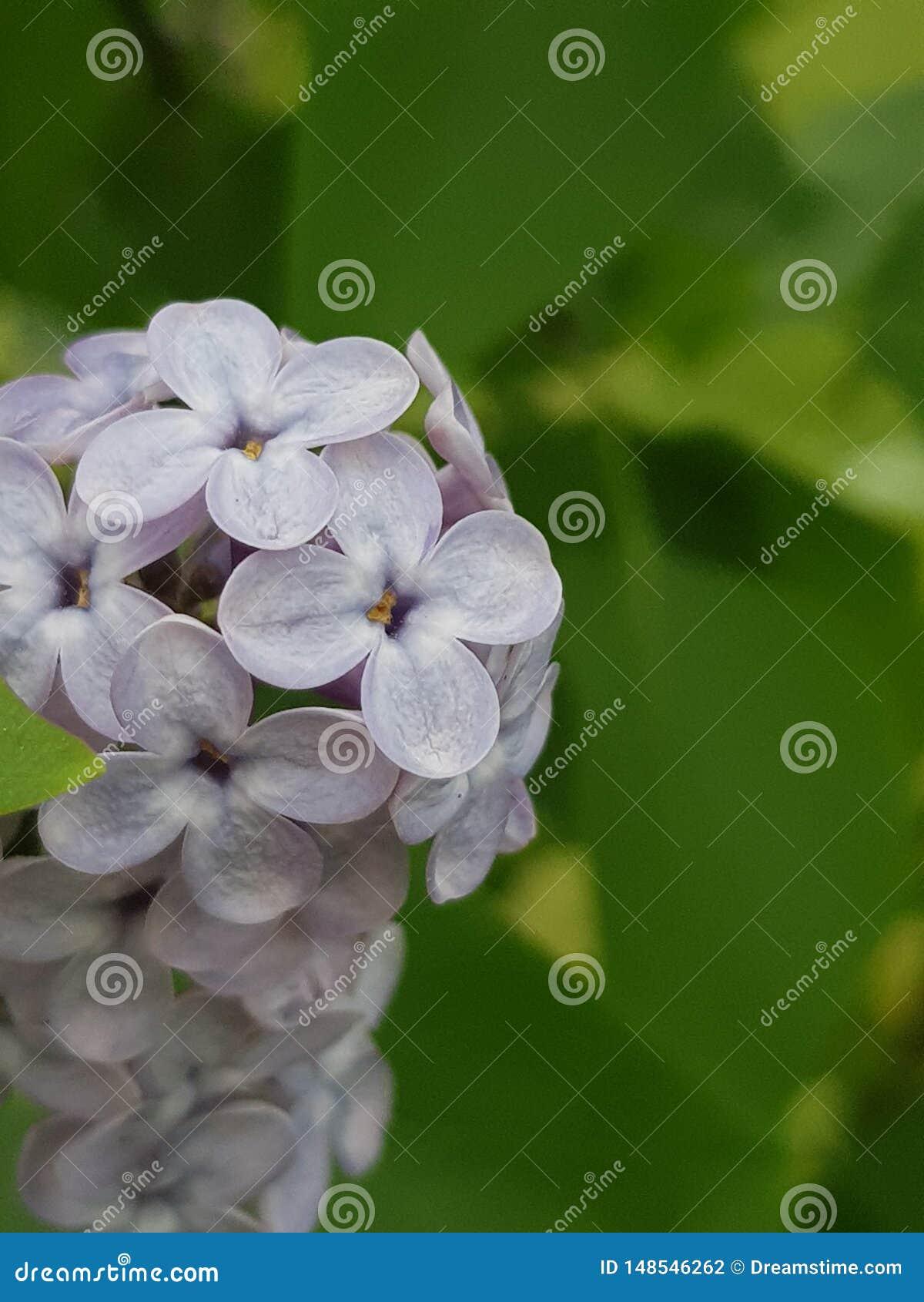 Красивый маленький букет фиолетовой сирени