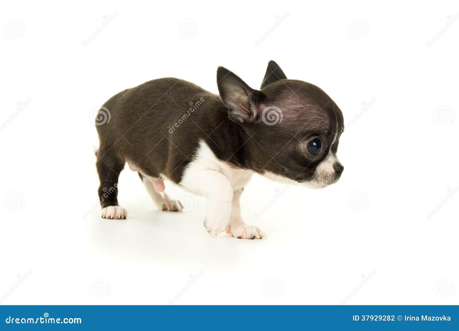 Красивый маленький щенок чихуахуа